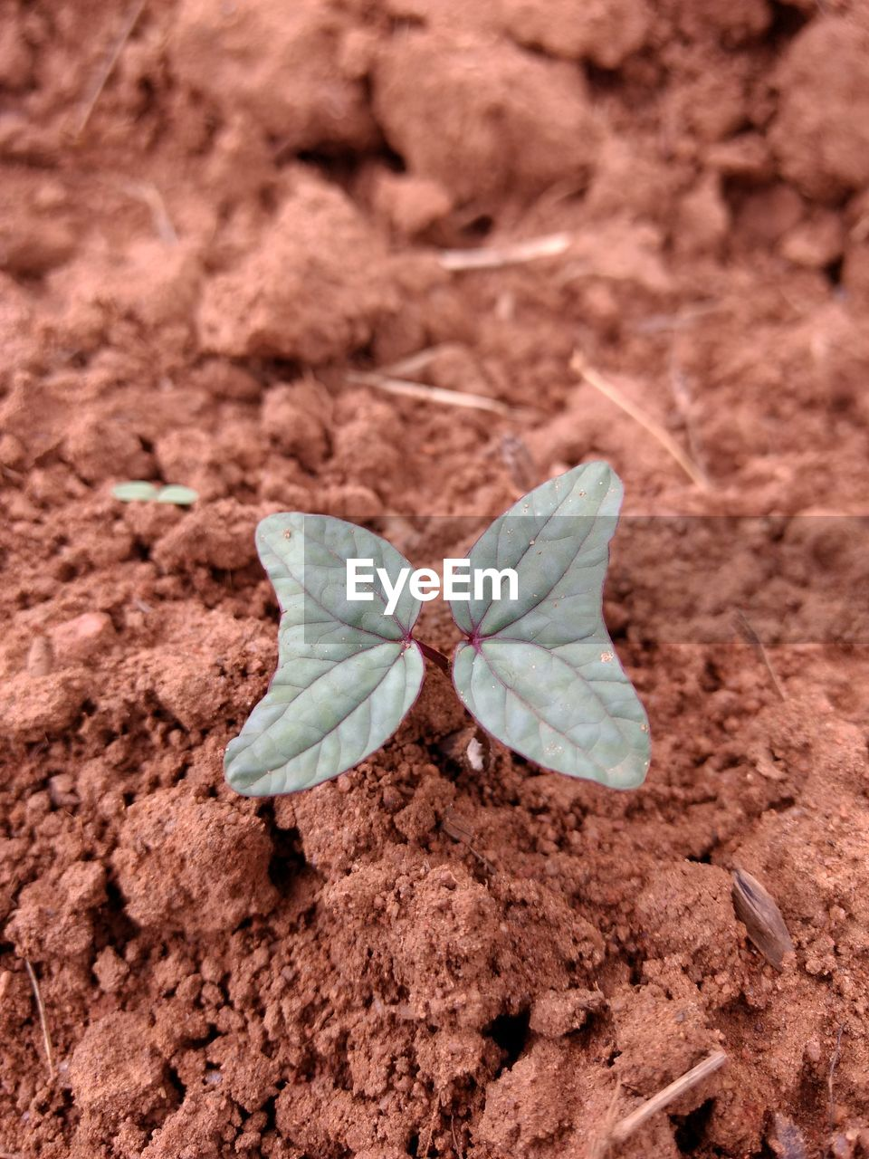 no people, land, close-up, nature, animal wing, dirt, beauty in nature, day, high angle view, outdoors, butterfly - insect, animal, animal themes, freshness, fragility, mud, insect, animal wildlife, flower, rock