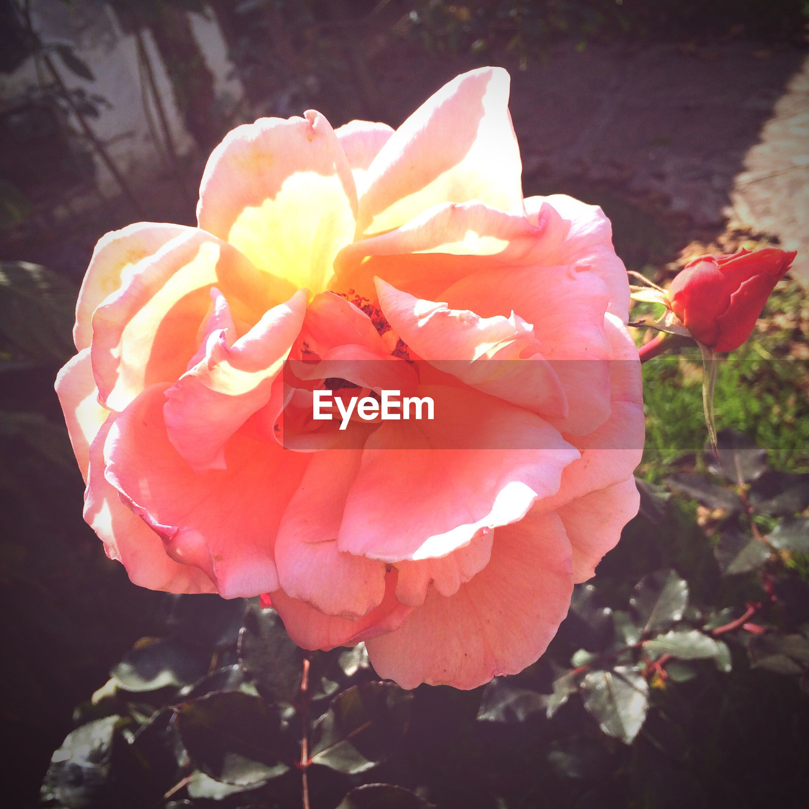 flower, petal, flower head, fragility, freshness, rose - flower, beauty in nature, growth, blooming, close-up, nature, single flower, plant, in bloom, red, focus on foreground, rose, blossom, pink color, no people