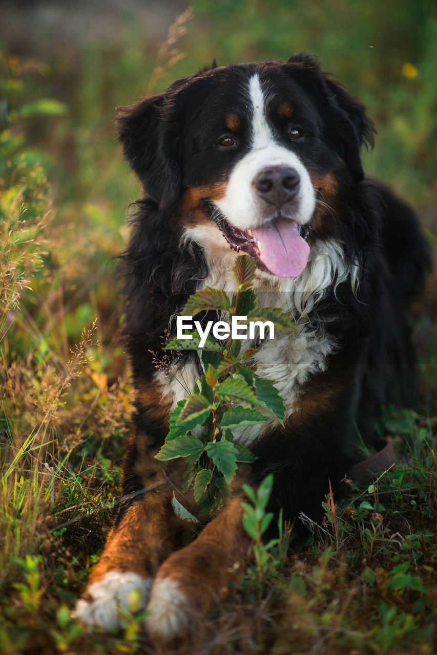 canine, dog, mammal, one animal, pets, domestic, domestic animals, animal themes, animal, vertebrate, land, plant, looking at camera, portrait, field, nature, day, no people, outdoors, selective focus, panting, mouth open