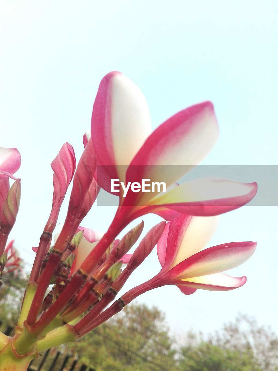 flower, petal, beauty in nature, freshness, fragility, nature, growth, pink color, flower head, clear sky, close-up, no people, day, outdoors, plant, studio shot, blooming, sky