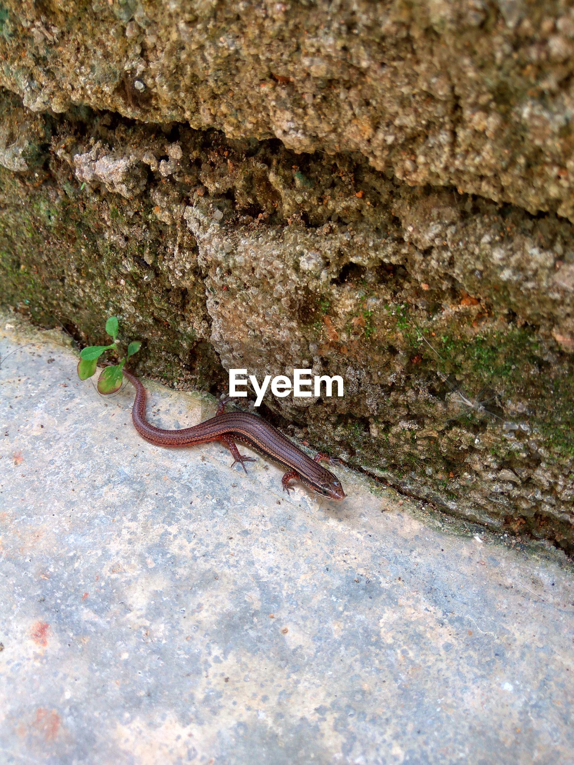 Lizard crawling on footpath