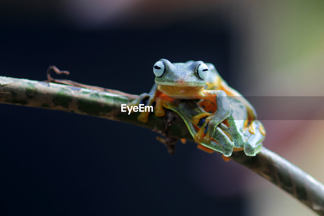 animal themes, animal, animal wildlife, animals in the wild, close-up, one animal, vertebrate, focus on foreground, no people, reptile, nature, lizard, selective focus, amphibian, animal body part, outdoors, frog, day, eye, branch, animal head, animal eye