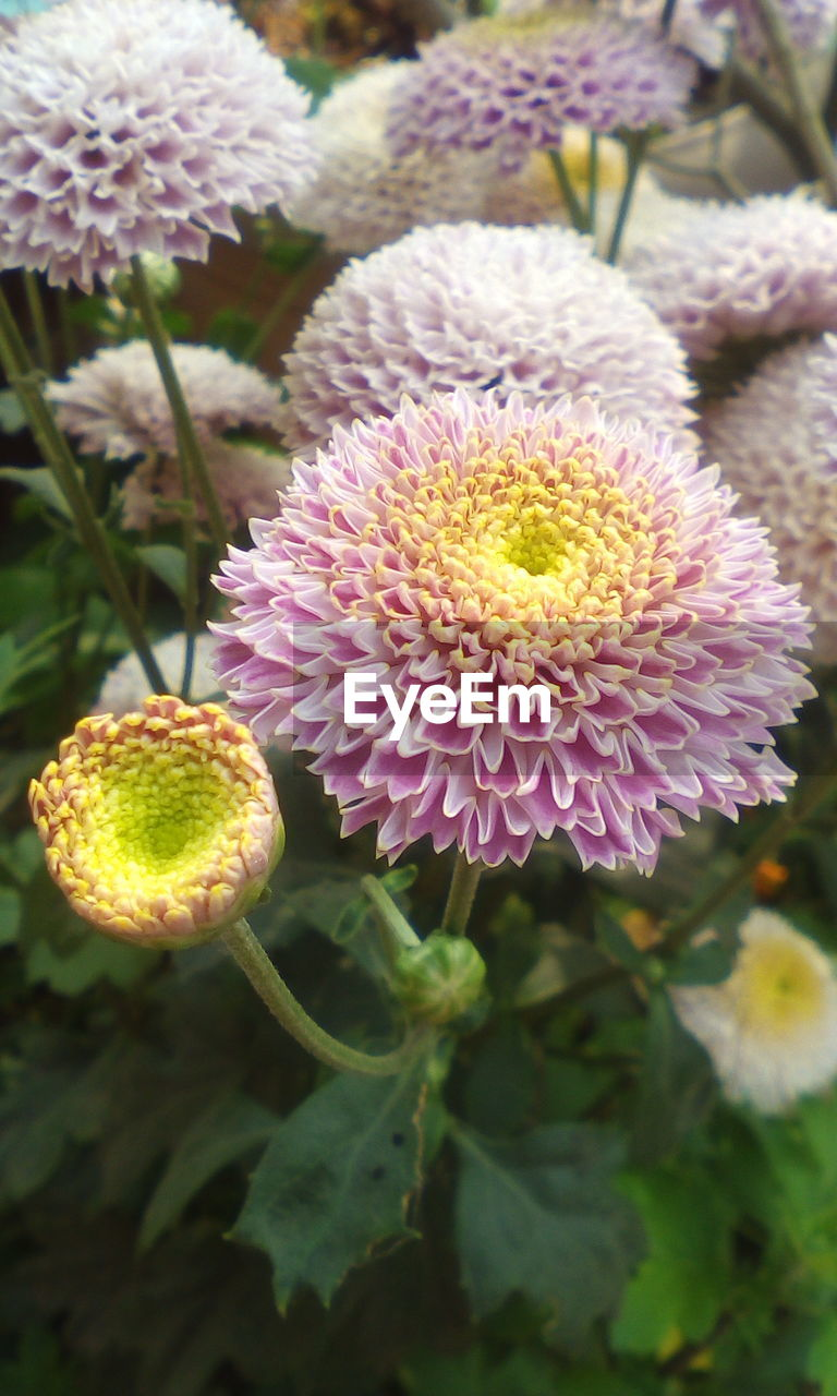 growth, flower, beauty in nature, nature, freshness, plant, no people, close-up, day, flower head, outdoors, fragility