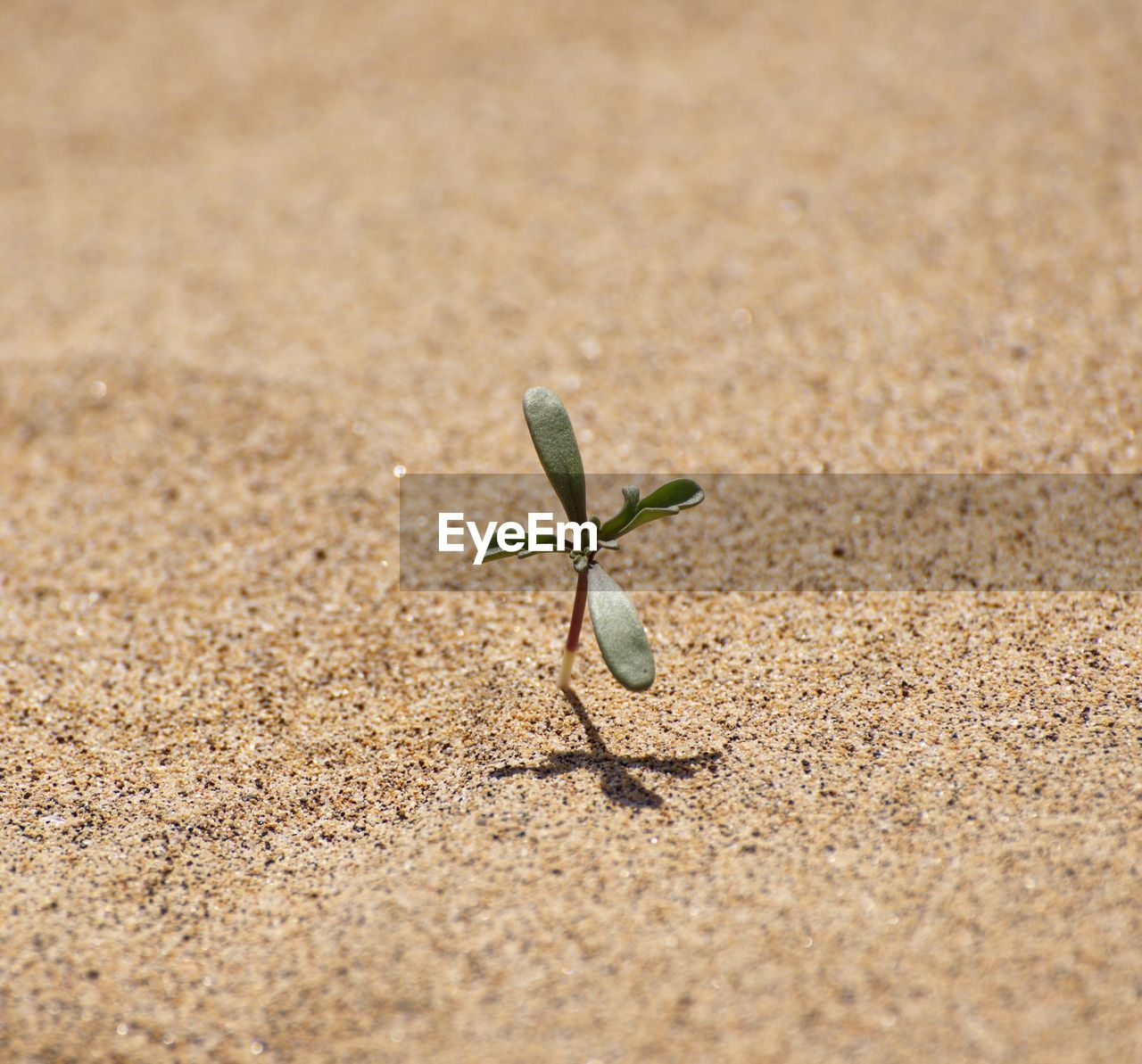 sand, nature, beach, day, plant, no people, outdoors, close-up, leaf, beauty in nature, fragility