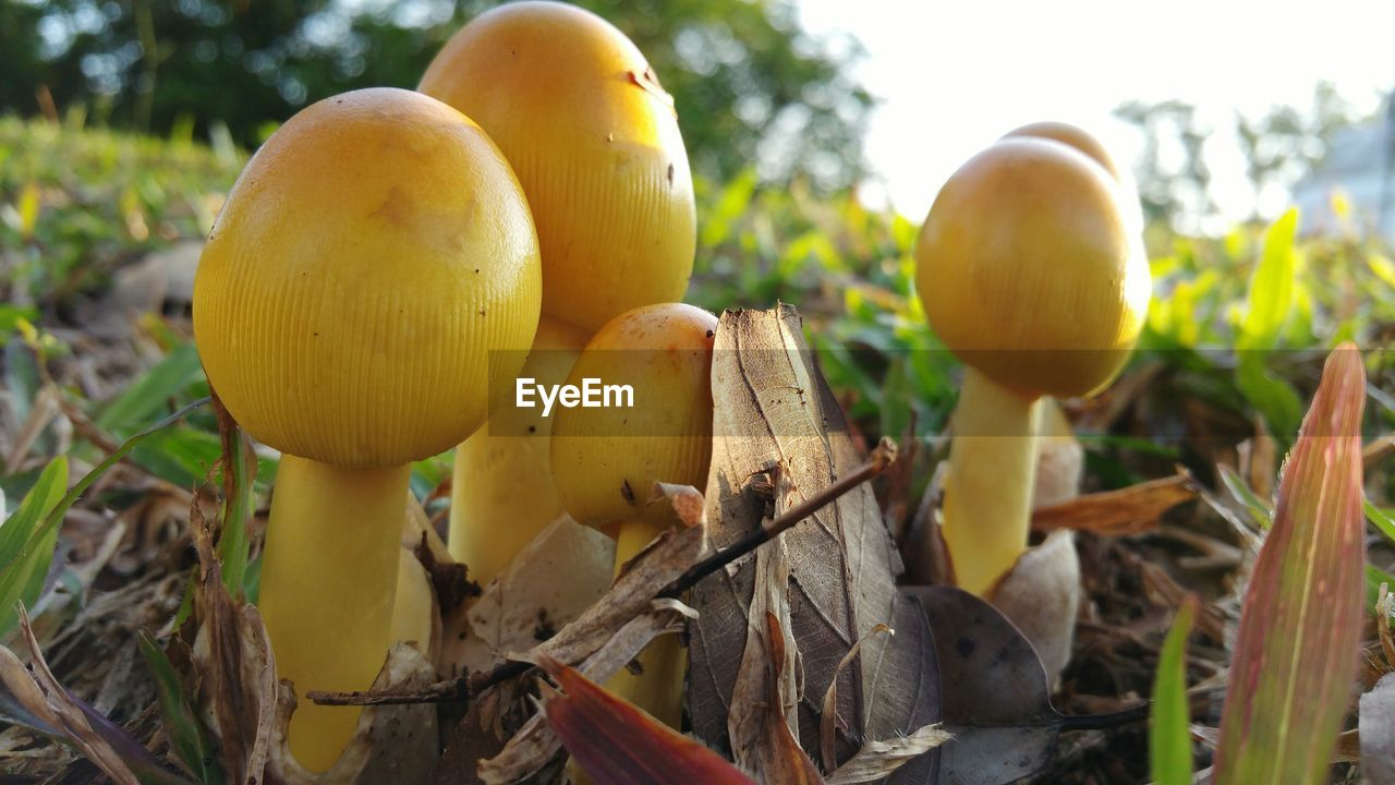 plant, growth, food, close-up, land, nature, no people, day, field, yellow, food and drink, beauty in nature, focus on foreground, freshness, healthy eating, vegetable, outdoors, mushroom, fruit, fungus, toadstool, ripe