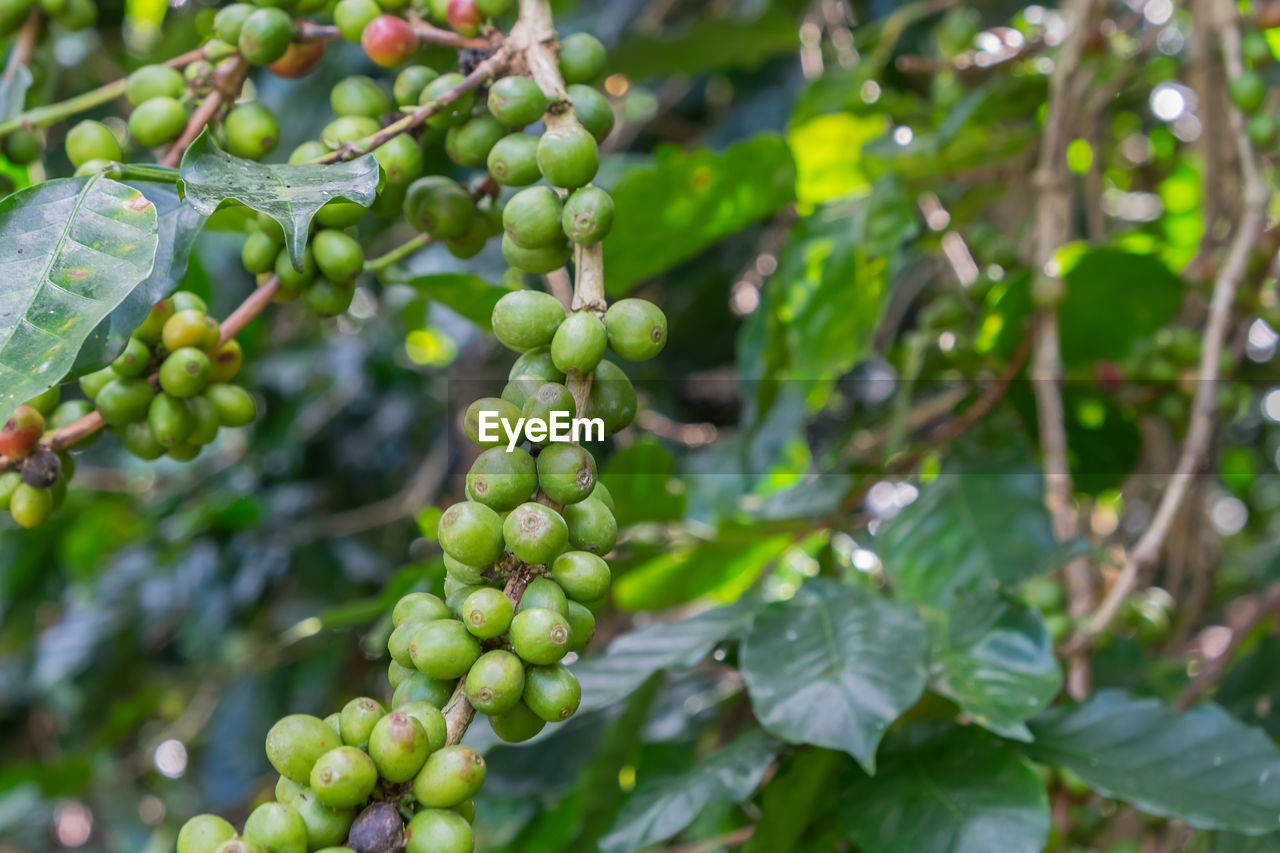 growth, green color, fruit, food and drink, nature, day, tree, bunch, grape, unripe, outdoors, low angle view, leaf, agriculture, focus on foreground, no people, freshness, hanging, plant, food, beauty in nature, healthy eating, close-up