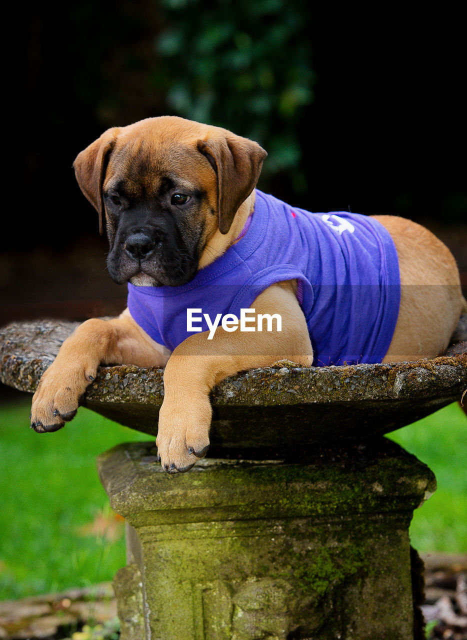canine, dog, one animal, pets, mammal, domestic, domestic animals, vertebrate, puppy, young animal, looking at camera, portrait, looking, no people, sitting, day
