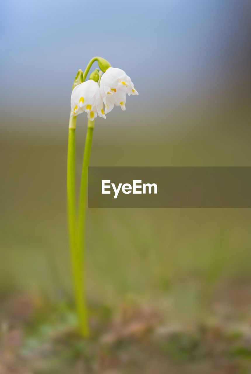 flower, flowering plant, beauty in nature, plant, fragility, vulnerability, growth, close-up, freshness, nature, petal, flower head, focus on foreground, no people, white color, inflorescence, day, plant stem, field, selective focus, outdoors, springtime