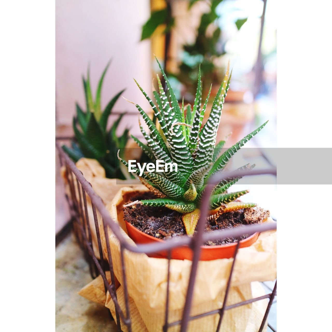 Close-Up Of Succulent Plants Growing In Pot