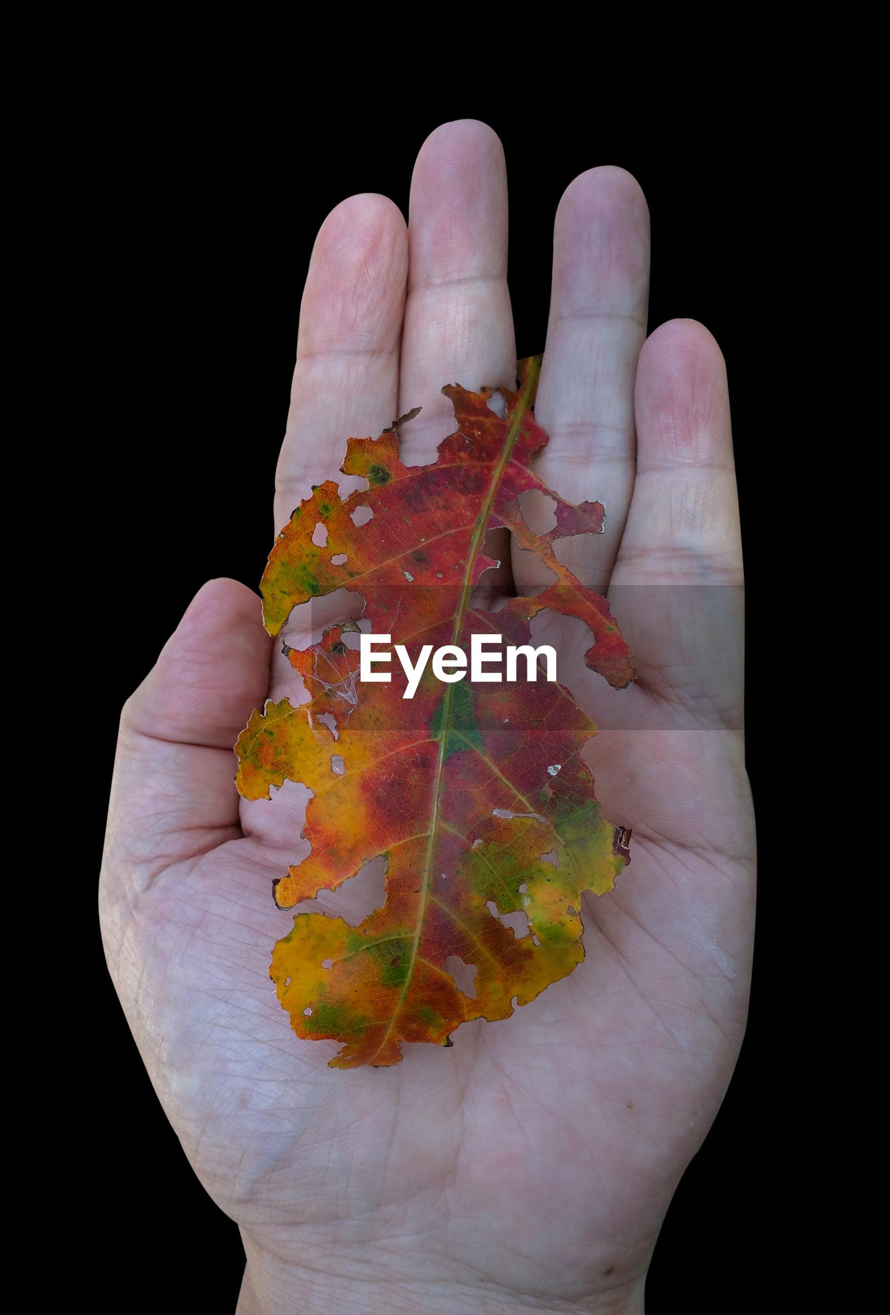 Close-up of hand holding leaf against black background