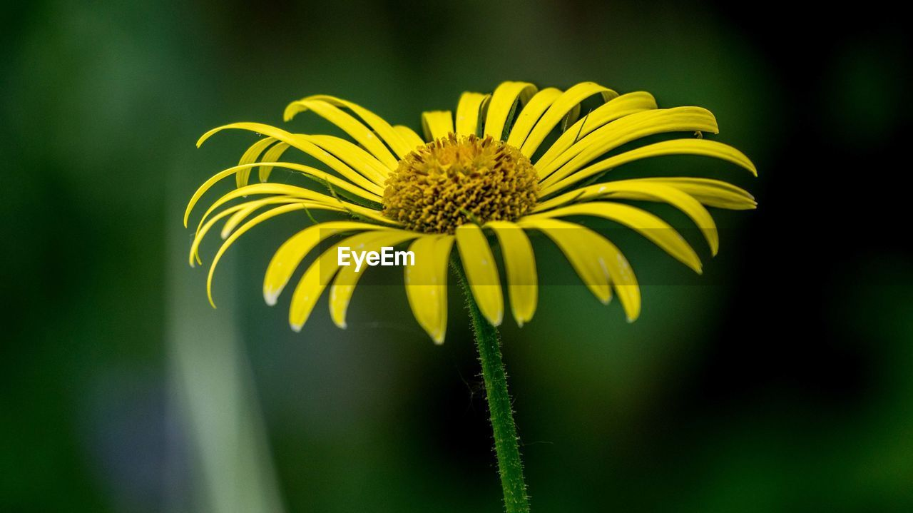 flower, fragility, growth, nature, petal, freshness, flower head, yellow, plant, beauty in nature, focus on foreground, pollen, blooming, close-up, no people, outdoors, day