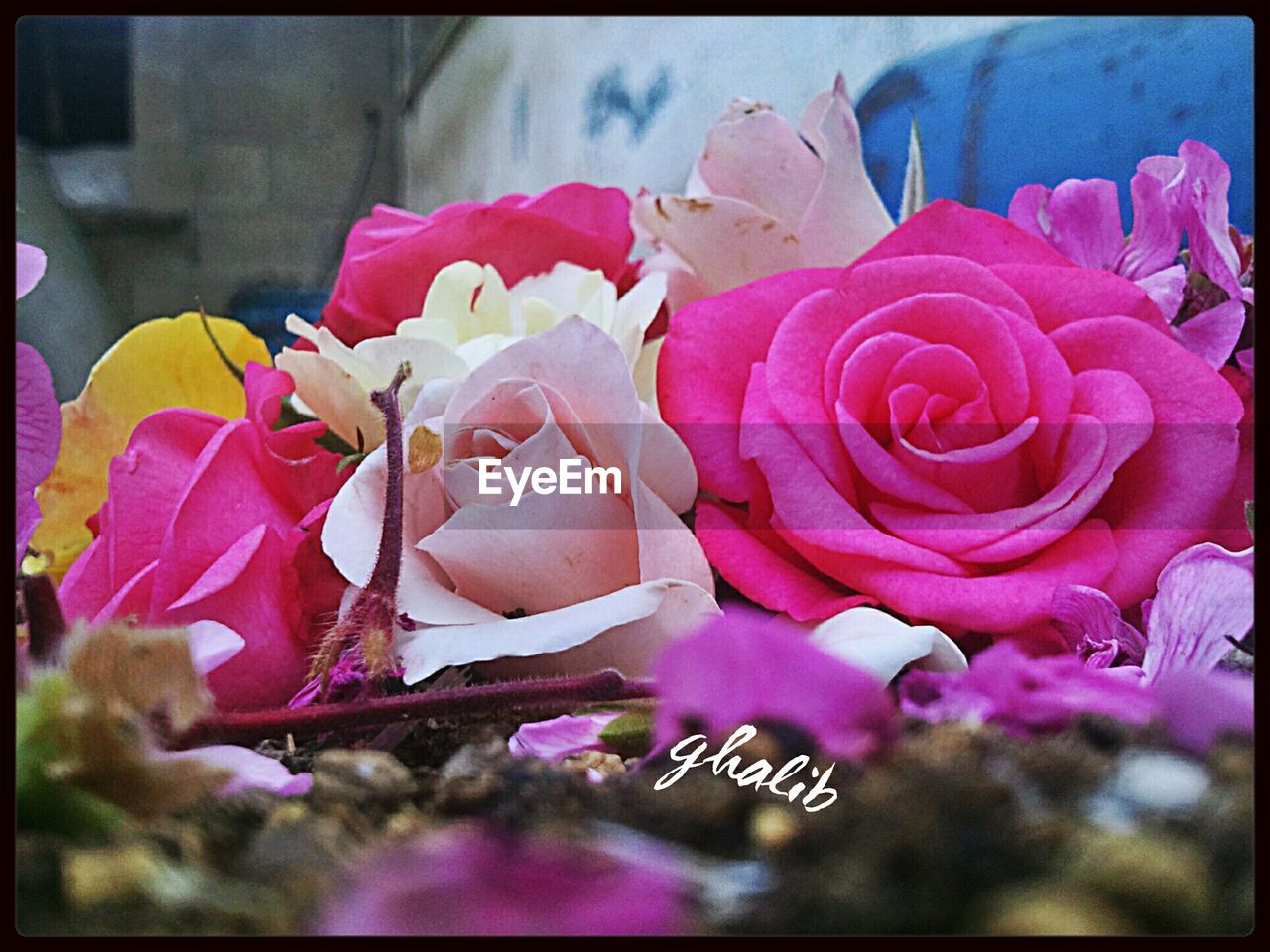 flower, petal, fragility, rose - flower, nature, beauty in nature, pink color, flower head, no people, close-up, plant, freshness, growth, day, outdoors