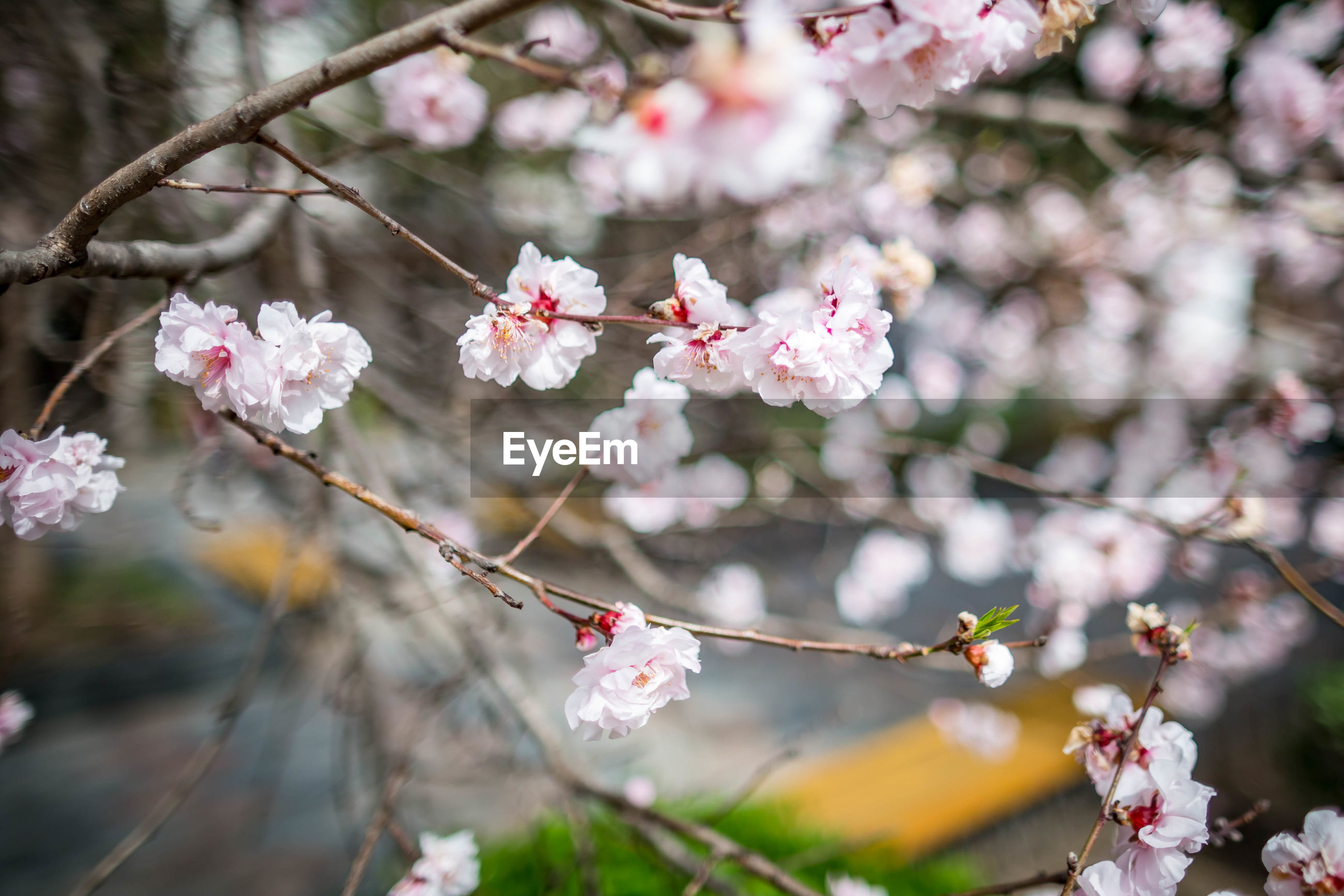 flower, flowering plant, plant, growth, fragility, vulnerability, beauty in nature, tree, freshness, branch, springtime, pink color, close-up, cherry blossom, blossom, day, nature, no people, focus on foreground, petal, cherry tree, flower head, outdoors, pollen, plum blossom, spring
