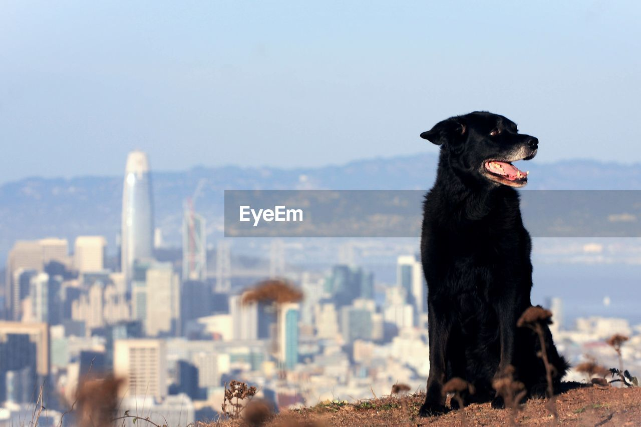 animal, animal themes, domestic, pets, mammal, domestic animals, one animal, dog, vertebrate, canine, nature, sky, no people, black color, building exterior, architecture, focus on foreground, day, built structure, sunlight