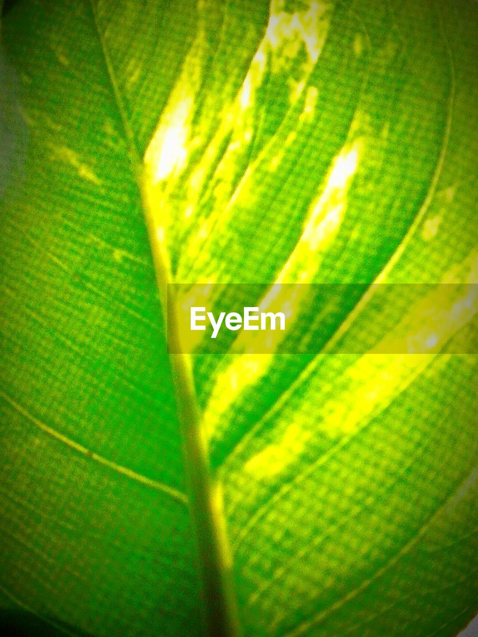 green color, leaf, backgrounds, full frame, no people, close-up, freshness, growth, nature, plant, banana leaf, day, beauty in nature, food, outdoors