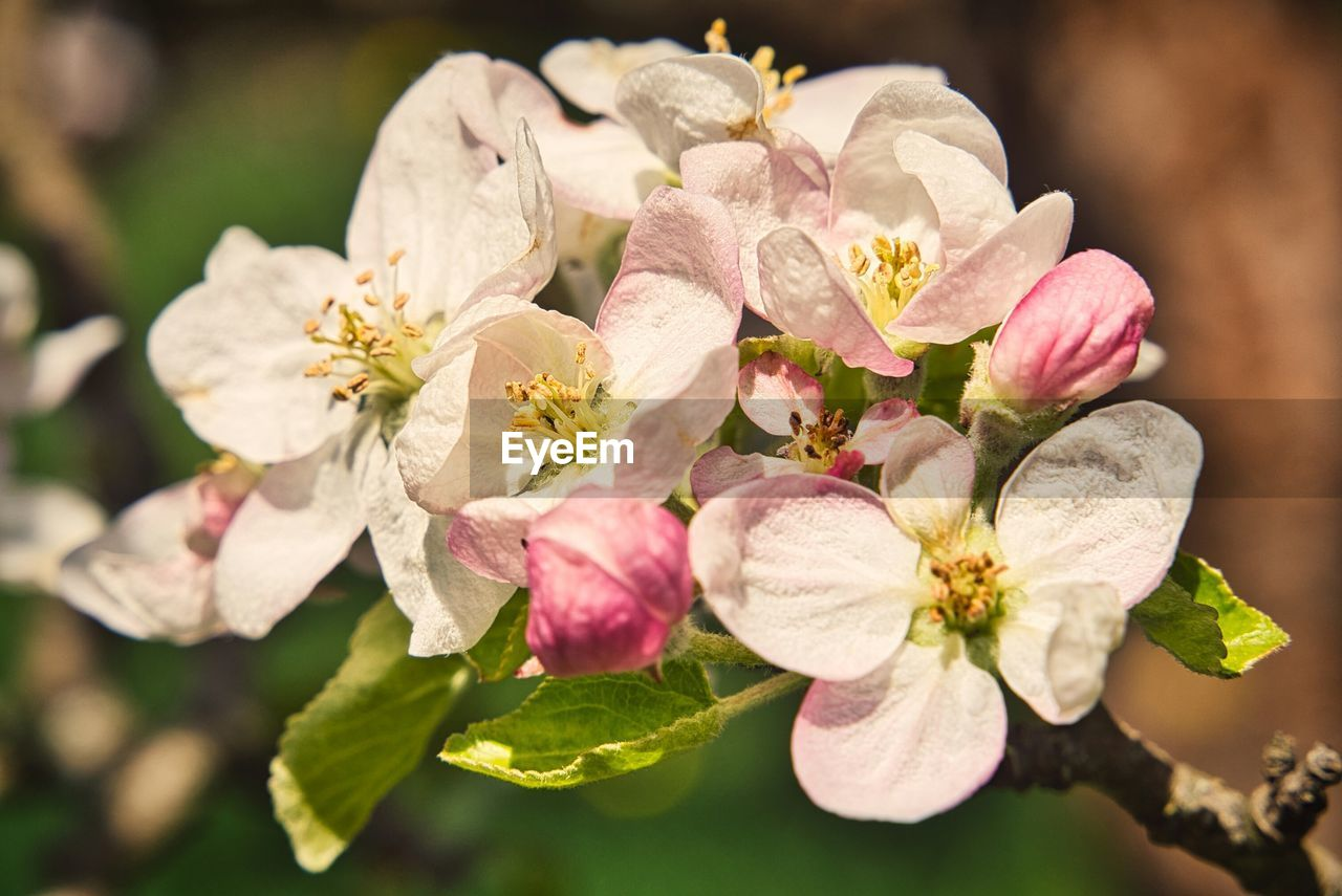 flowering plant, flower, beauty in nature, petal, plant, vulnerability, fragility, growth, freshness, close-up, flower head, inflorescence, pollen, nature, focus on foreground, pink color, day, no people, plant part, leaf, outdoors, springtime, cherry blossom