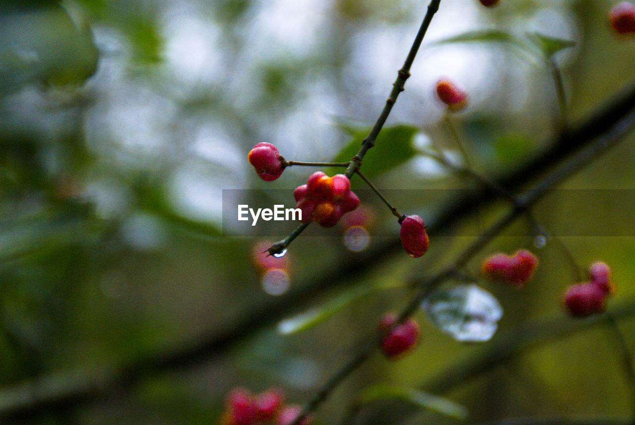red, fruit, focus on foreground, food and drink, rose hip, growth, nature, no people, outdoors, tree, rowanberry, beauty in nature, day, close-up, freshness, healthy eating, food, branch, water