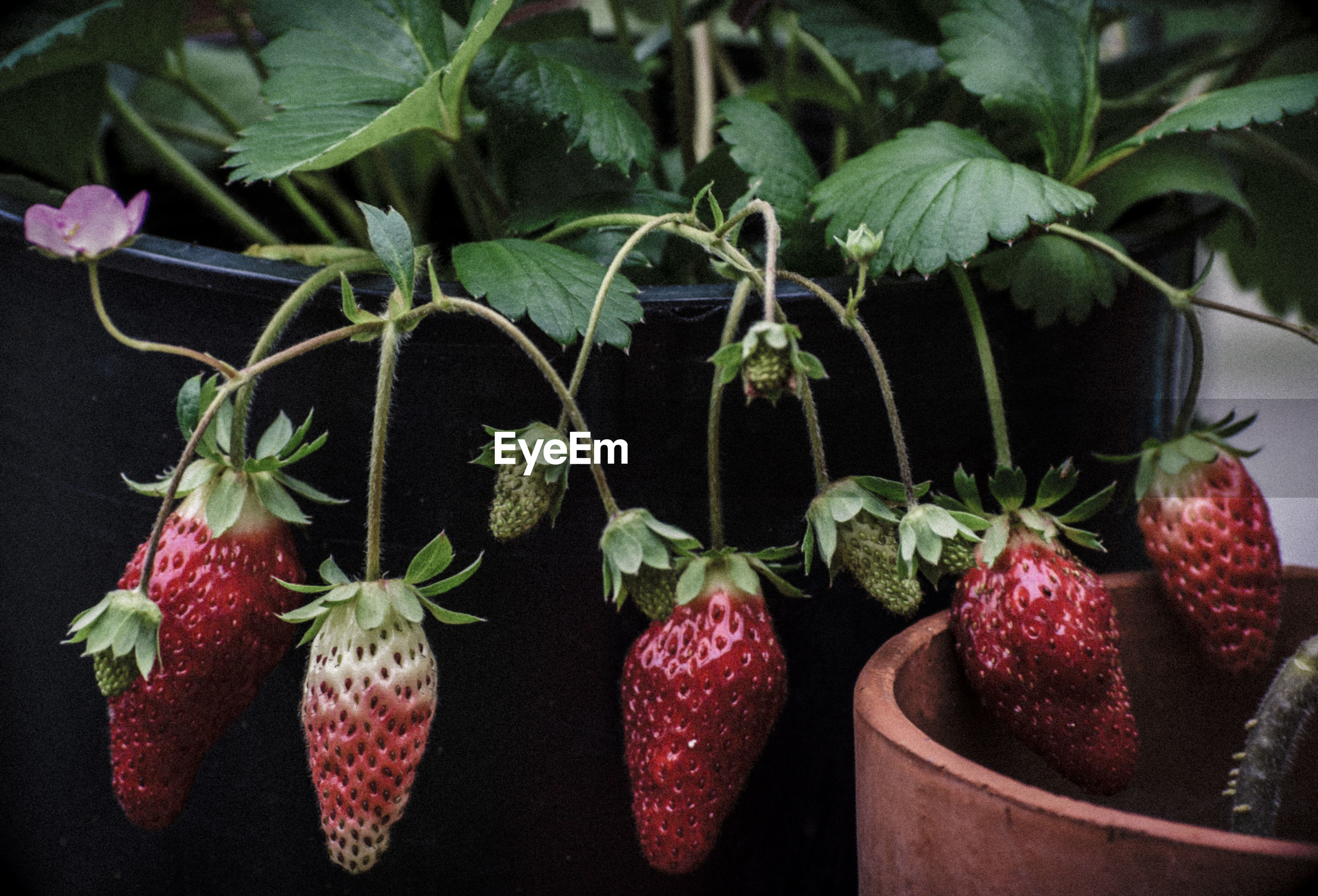 Close-up of strawberries growing on plant