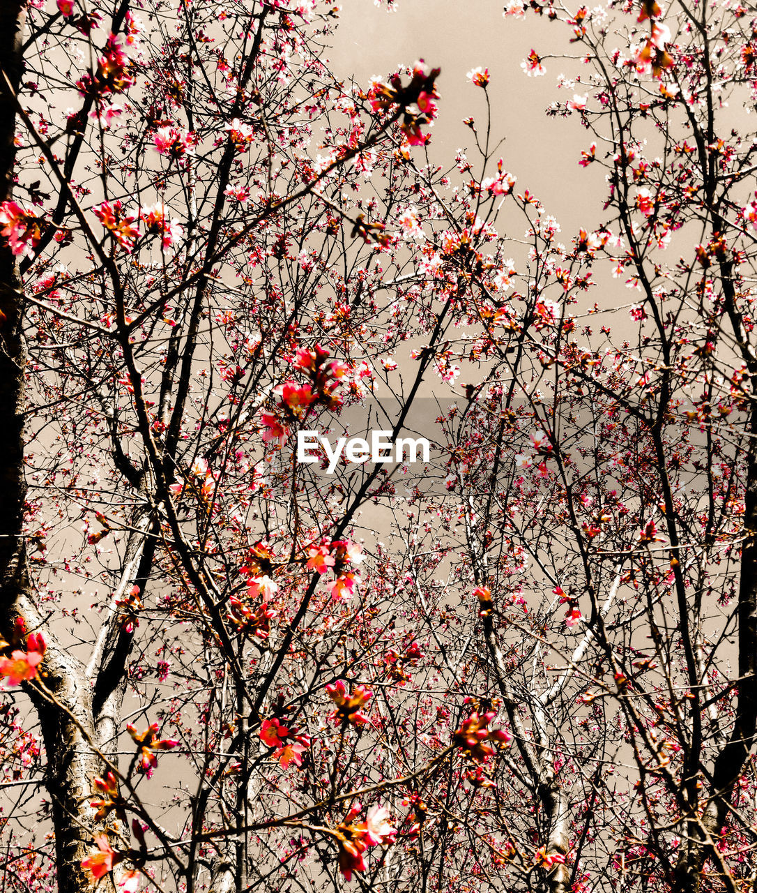 flower, branch, tree, blossom, beauty in nature, springtime, cherry blossom, growth, nature, cherry tree, low angle view, freshness, fragility, botany, twig, plum blossom, orchard, outdoors, no people, pink color, apple blossom, day, petal, tranquility, backgrounds, scenics, close-up, sky, flower head