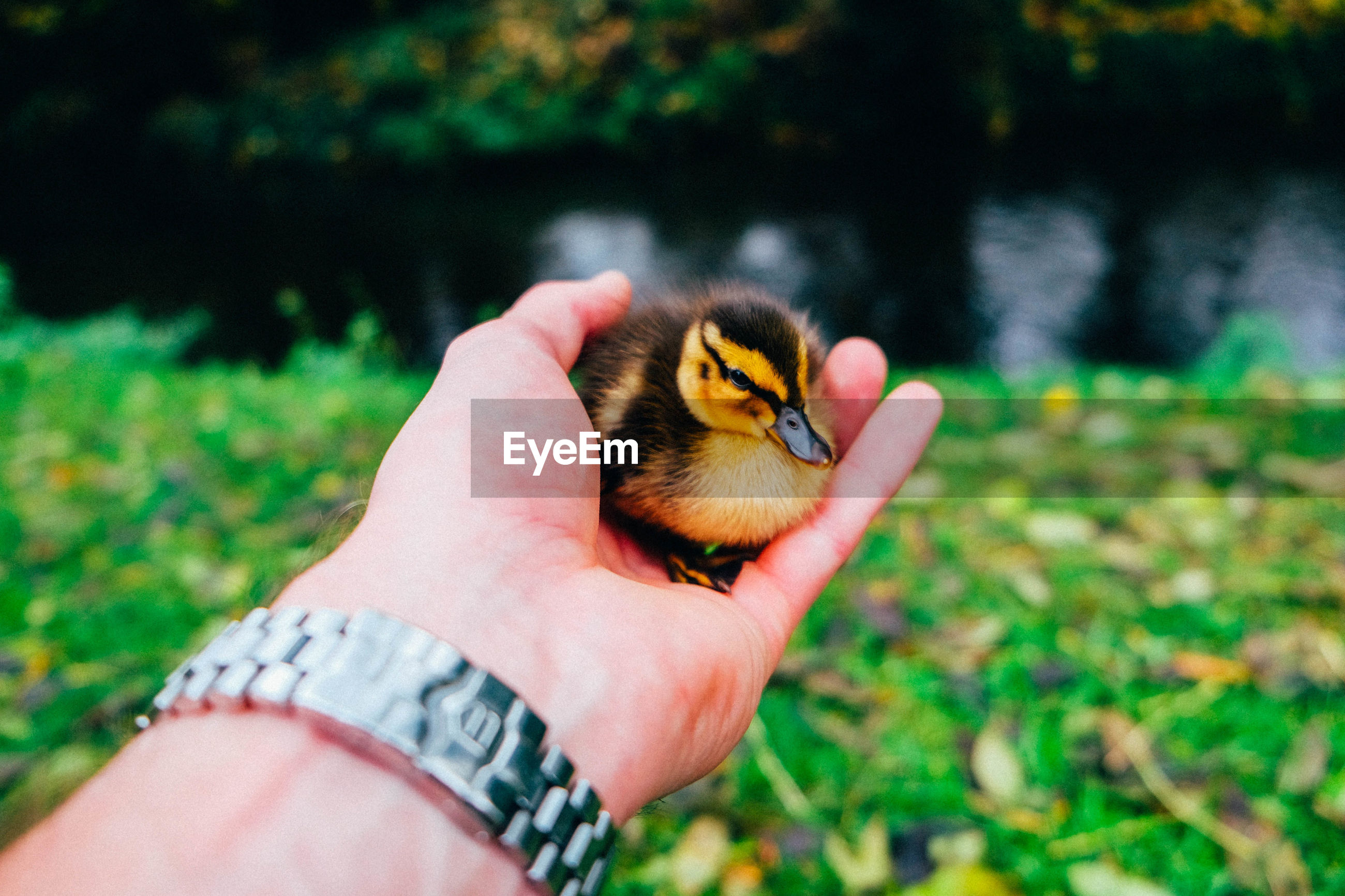 Cropped hand holding duckling