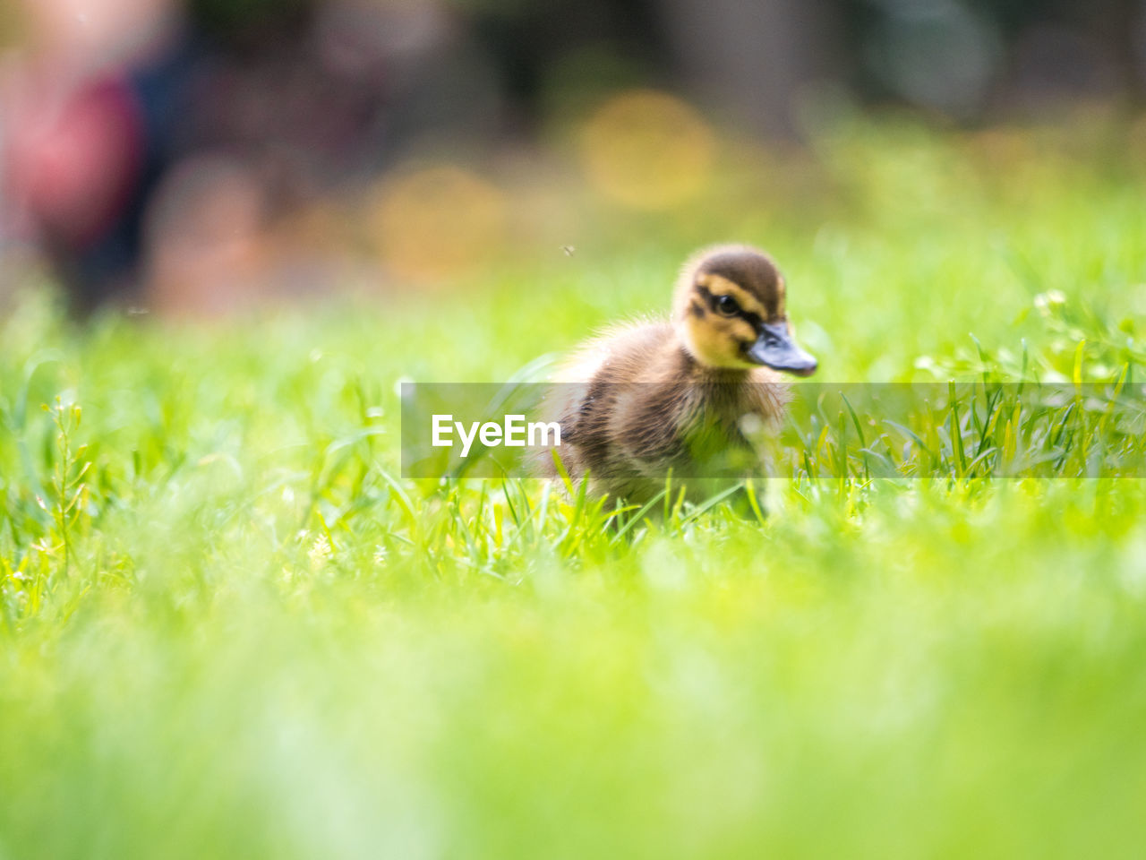 animal themes, animal, one animal, vertebrate, animal wildlife, selective focus, animals in the wild, plant, green color, bird, grass, nature, field, day, no people, land, growth, outdoors, young animal, close-up, gosling