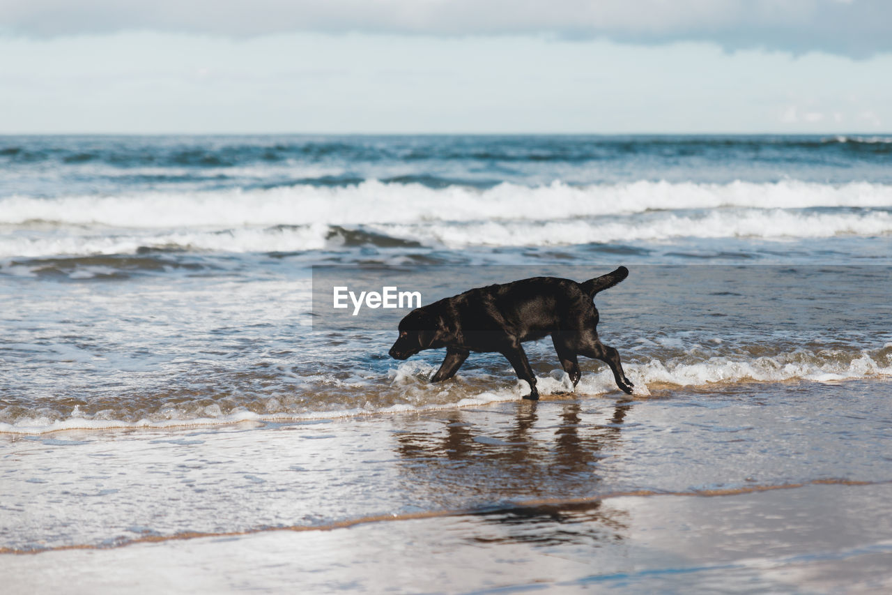 Side view of dog standing on shore at beach
