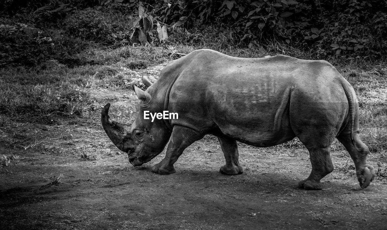 A profile shot of a rhino