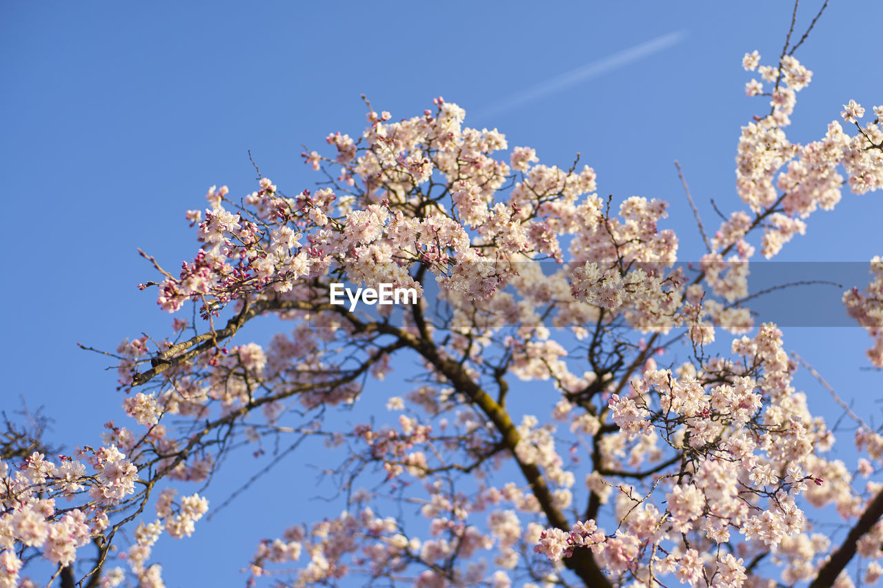 plant, fragility, growth, branch, vulnerability, low angle view, flowering plant, sky, flower, tree, beauty in nature, blossom, springtime, cherry blossom, nature, day, freshness, no people, clear sky, sunlight, cherry tree, outdoors, pollen, spring