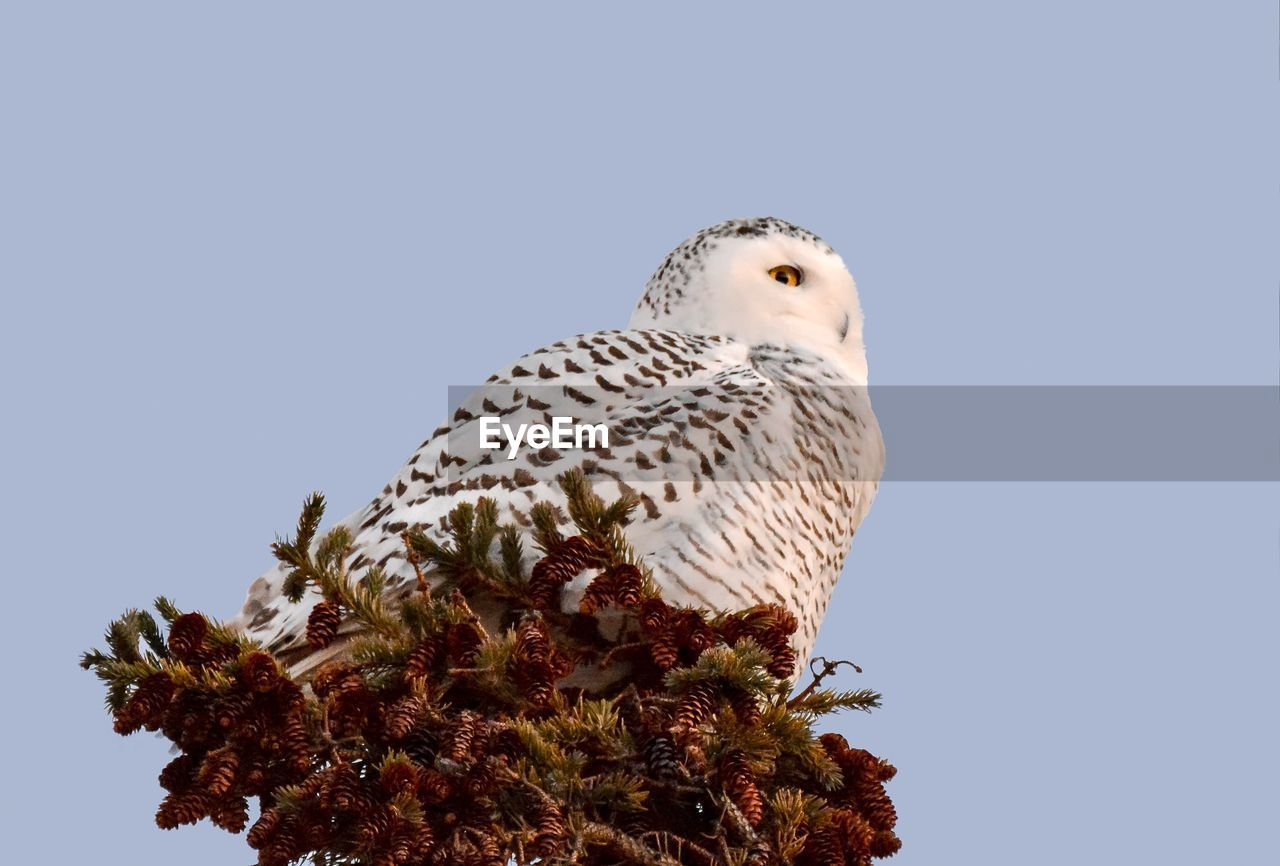 animal wildlife, animals in the wild, animal themes, bird, animal, sky, one animal, vertebrate, clear sky, copy space, low angle view, plant, perching, nature, no people, tree, bird of prey, day, outdoors, blue, falcon - bird