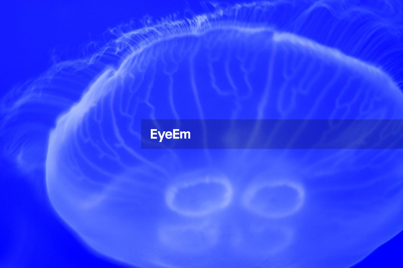 jellyfish, sea life, blue, close-up, underwater, water, no people, sea, swimming, floating in water, beauty in nature, undersea