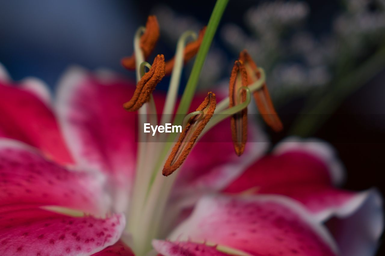 flowering plant, flower, vulnerability, fragility, petal, beauty in nature, plant, close-up, freshness, growth, inflorescence, flower head, selective focus, pollen, no people, botany, nature, day, stamen, lily, soft focus, sepal