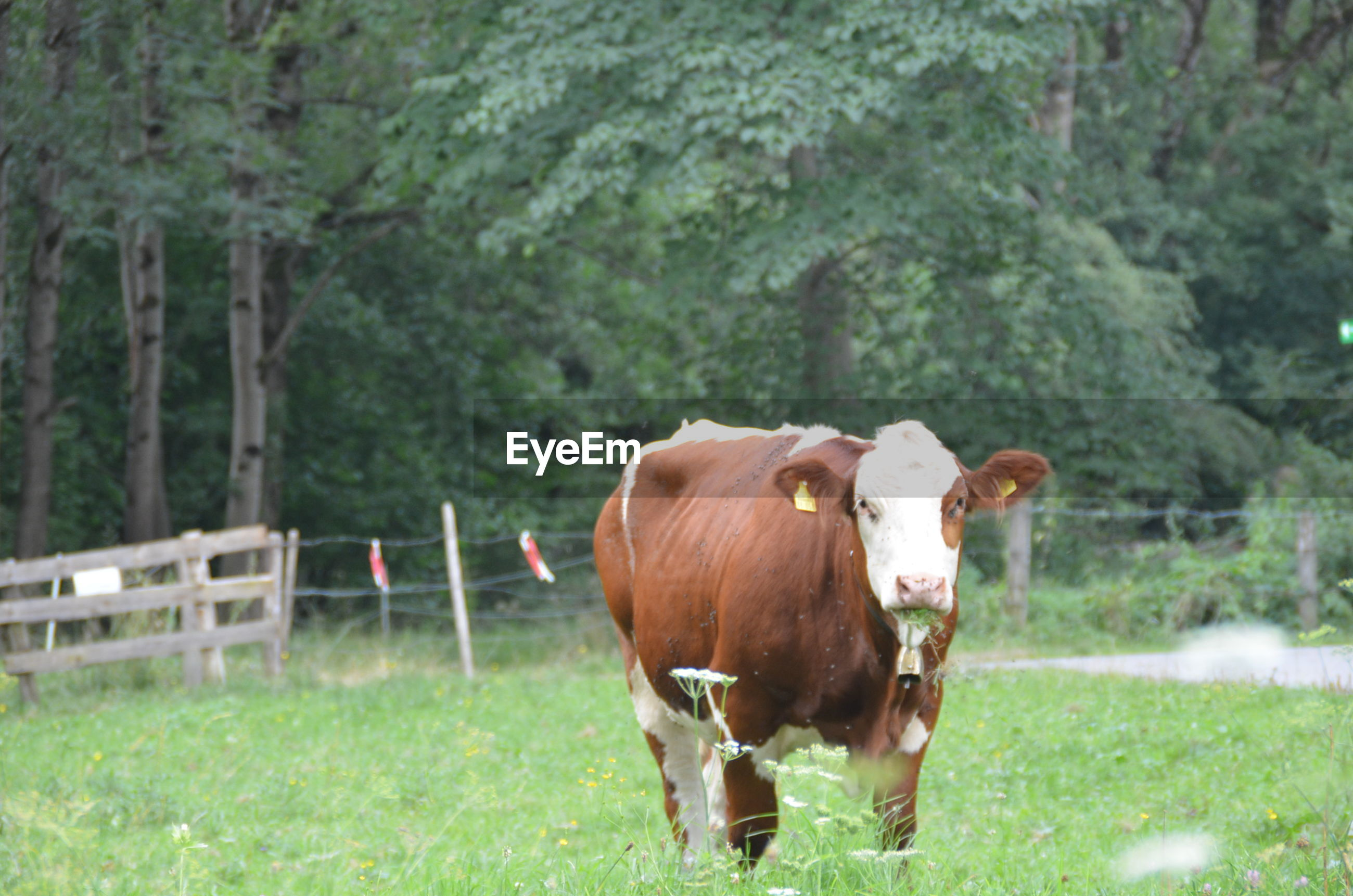 Portrait of cow standing on grassy land against trees