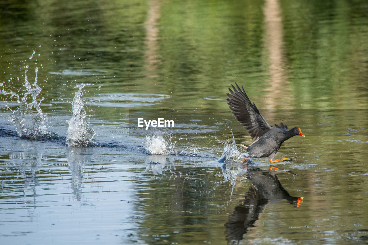 animal themes, animal, bird, vertebrate, animal wildlife, water, animals in the wild, flying, one animal, lake, spread wings, waterfront, day, reflection, motion, no people, nature, outdoors, side view, drinking, flapping