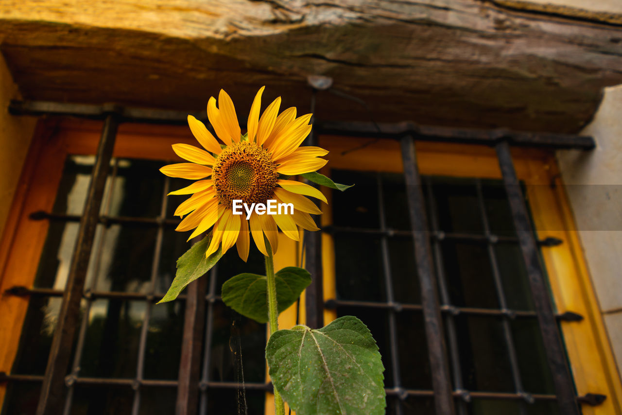 Low Angle View Of Yellow Flowering Plant On Building