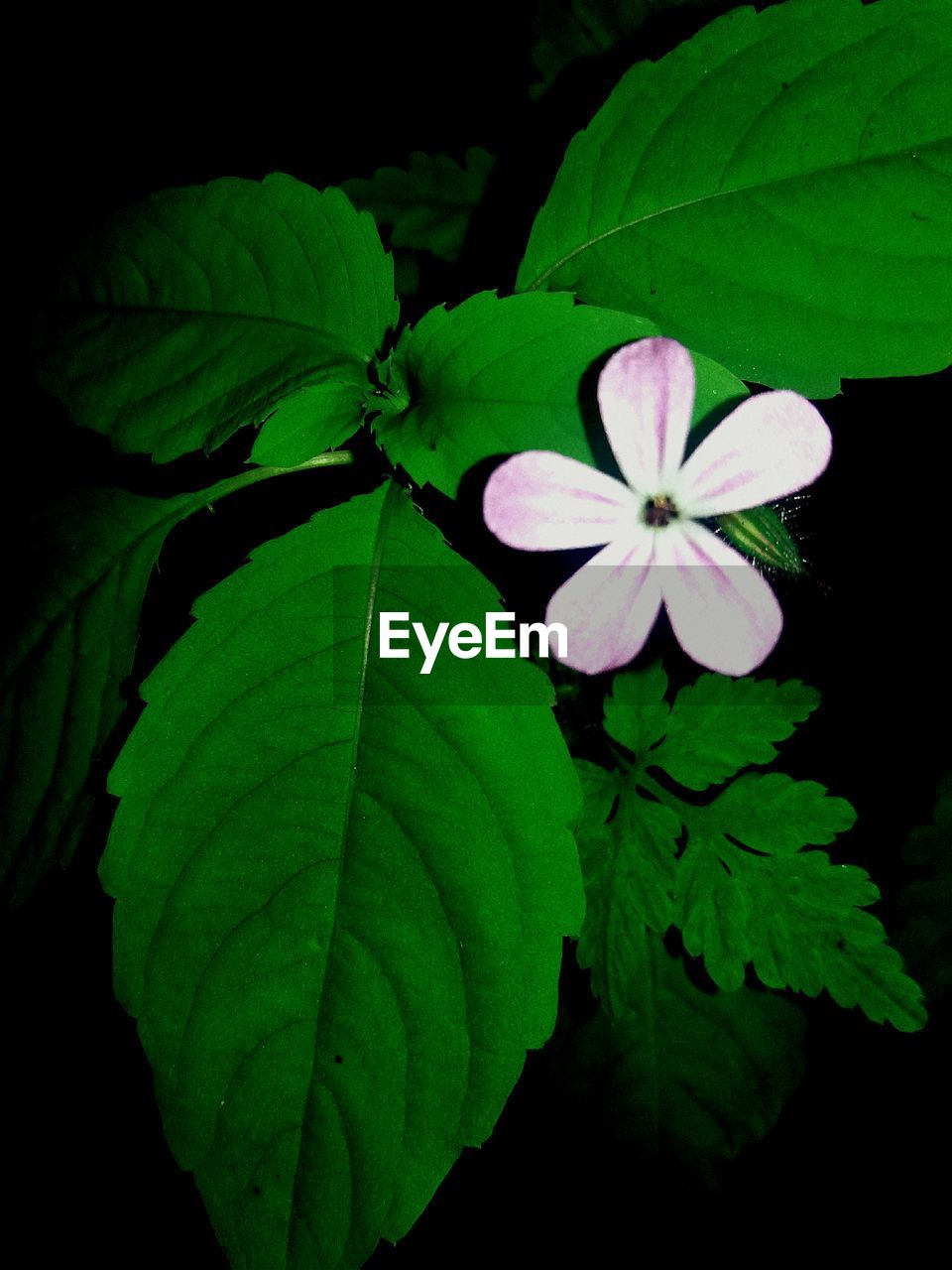plant part, leaf, plant, freshness, flower, growth, beauty in nature, close-up, flowering plant, fragility, vulnerability, petal, green color, nature, flower head, inflorescence, night, no people, outdoors, pink color, black background, leaves