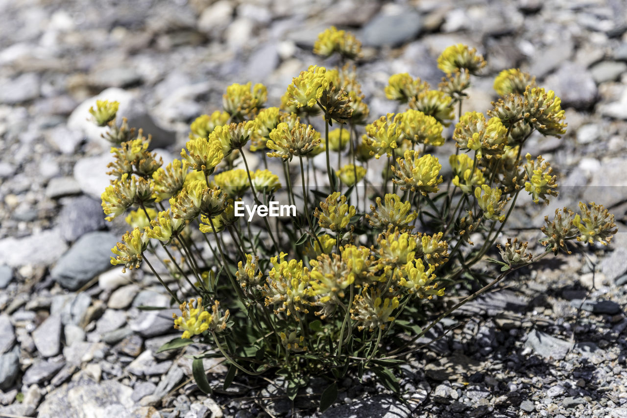 flower, plant, flowering plant, growth, vulnerability, freshness, close-up, beauty in nature, nature, fragility, yellow, day, no people, field, focus on foreground, land, flower head, outdoors, selective focus, inflorescence, springtime, lichen