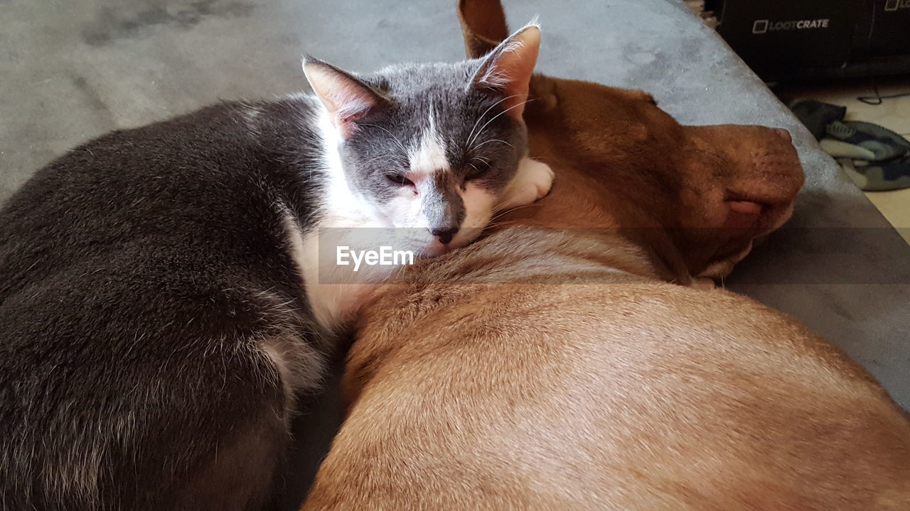 Close-up of cat with pit bull terrier at home