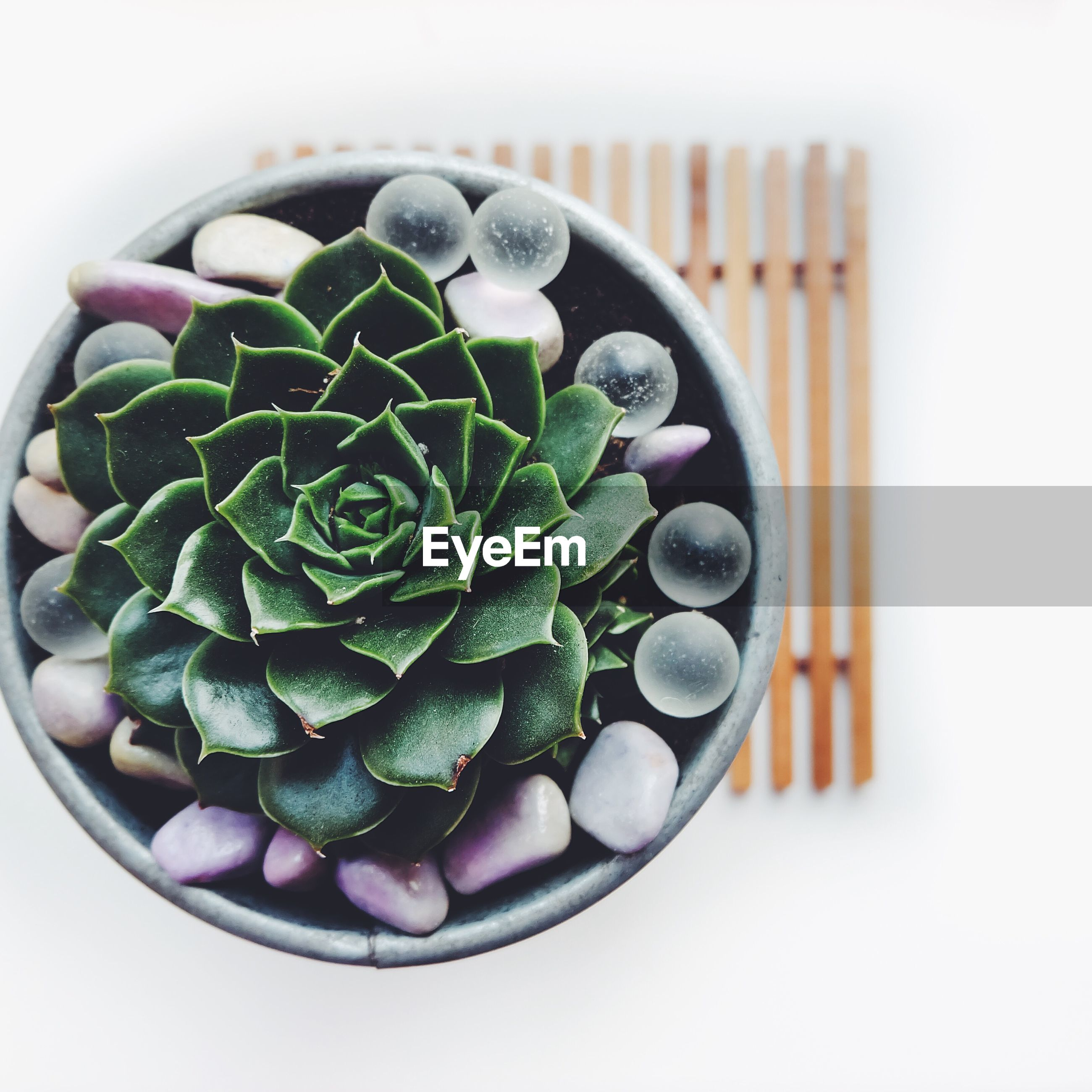 Directly above shot of succulent plant on white background