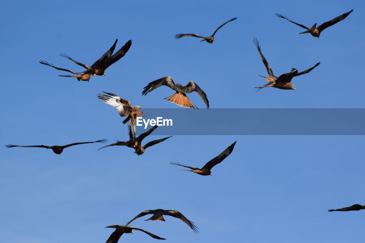 animal wildlife, group of animals, animal themes, animals in the wild, flying, bird, animal, vertebrate, spread wings, mid-air, sky, low angle view, no people, large group of animals, day, nature, motion, clear sky, animal migration, blue, flock of birds, flapping