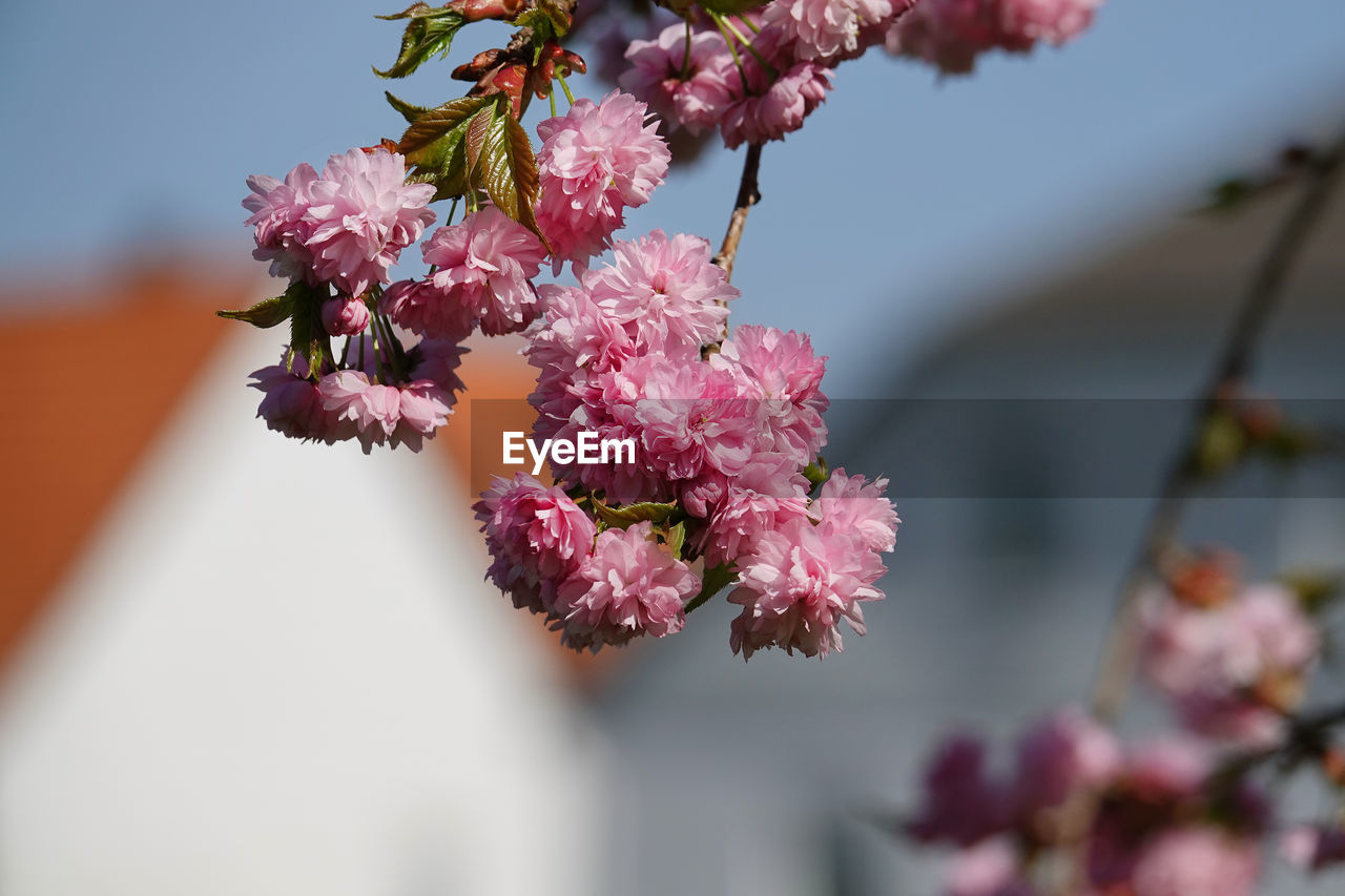 flowering plant, flower, plant, fragility, vulnerability, beauty in nature, freshness, growth, close-up, pink color, petal, focus on foreground, inflorescence, nature, flower head, day, blossom, springtime, no people, tree, outdoors, cherry blossom, cherry tree, bunch of flowers