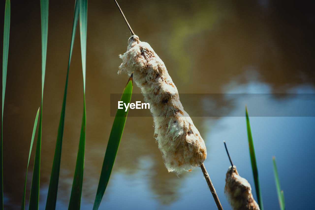 nature, water, cattail, lake, plant, growth, focus on foreground, outdoors, beauty in nature, no people, day, tranquility, close-up
