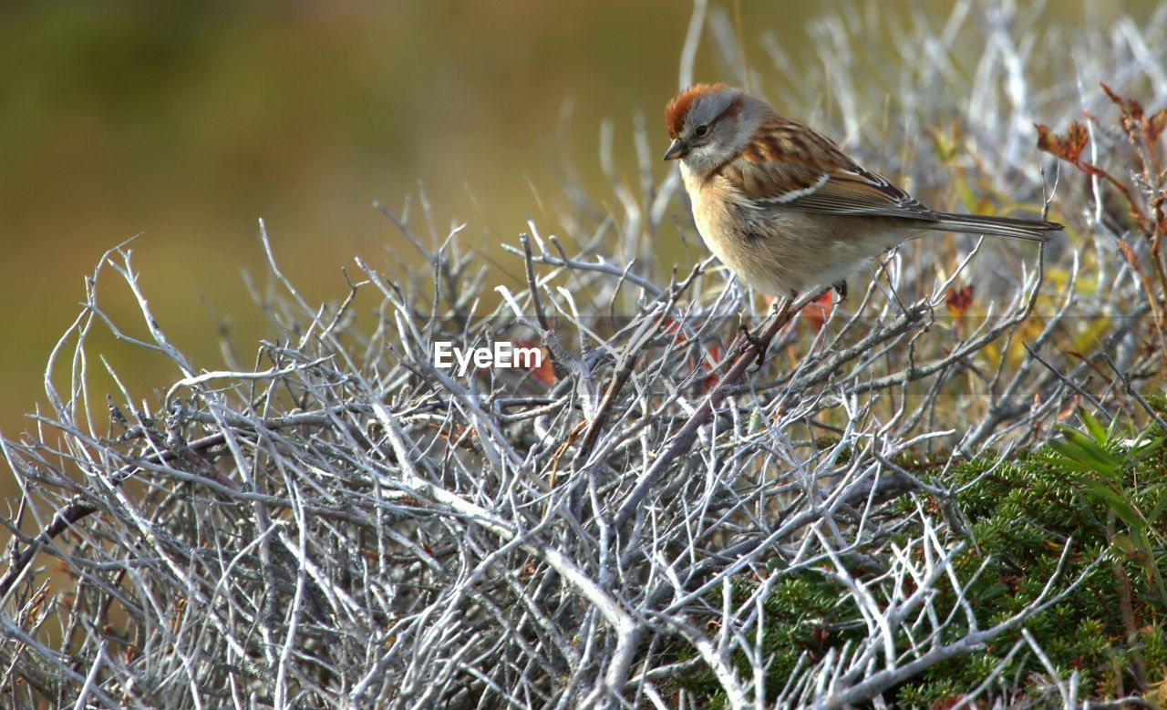 one animal, animals in the wild, bird, animal themes, perching, animal wildlife, robin, nature, focus on foreground, songbird, no people, day, branch, close-up, outdoors, bare tree, winter, beauty in nature, sparrow, food, tree