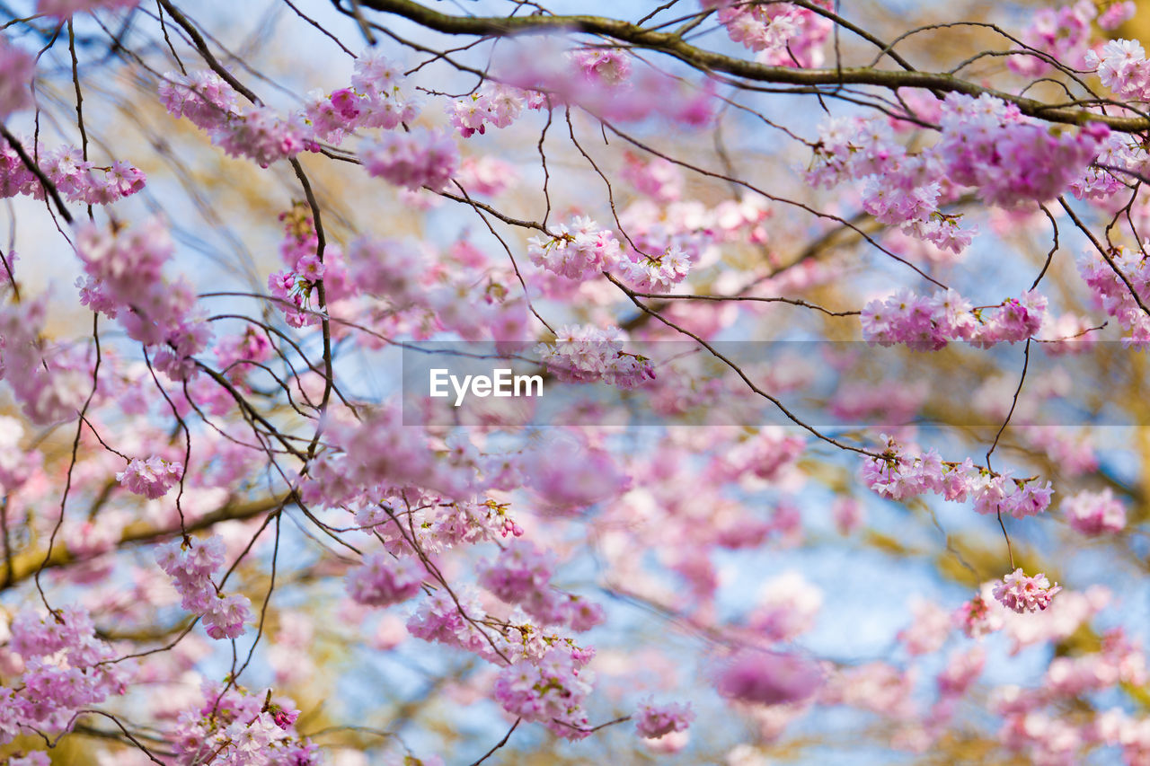 flower, beauty in nature, tree, blossom, fragility, branch, pink color, springtime, cherry blossom, nature, freshness, growth, cherry tree, no people, botany, selective focus, day, low angle view, outdoors, twig, close-up, petal, backgrounds, plum blossom, flower head, sky