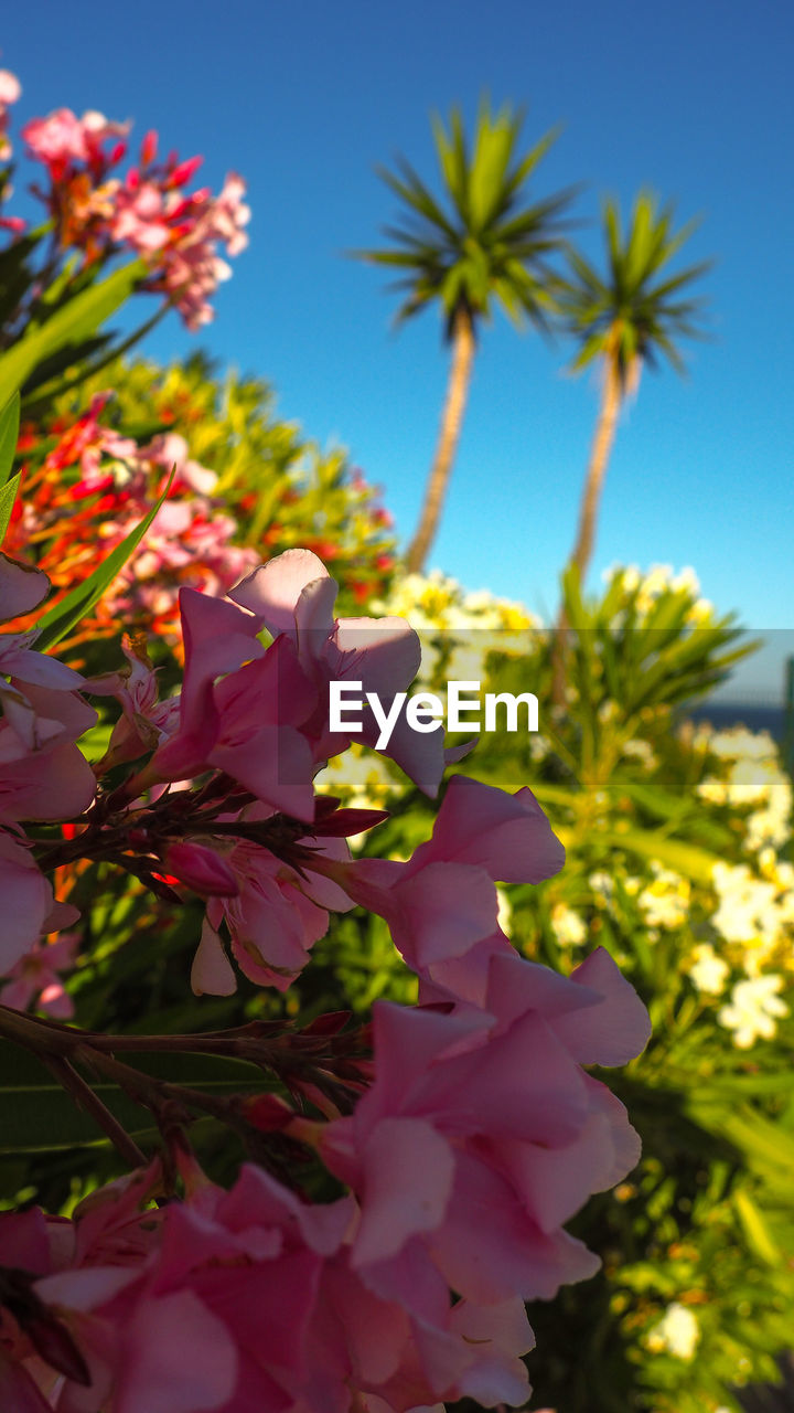 plant, flowering plant, flower, growth, freshness, beauty in nature, vulnerability, fragility, petal, sky, nature, close-up, pink color, no people, flower head, low angle view, inflorescence, day, focus on foreground, clear sky