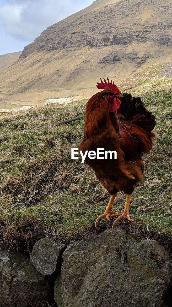 animal, animal themes, vertebrate, livestock, bird, domestic, domestic animals, mammal, pets, chicken - bird, mountain, no people, land, nature, male animal, one animal, chicken, day, field, outdoors