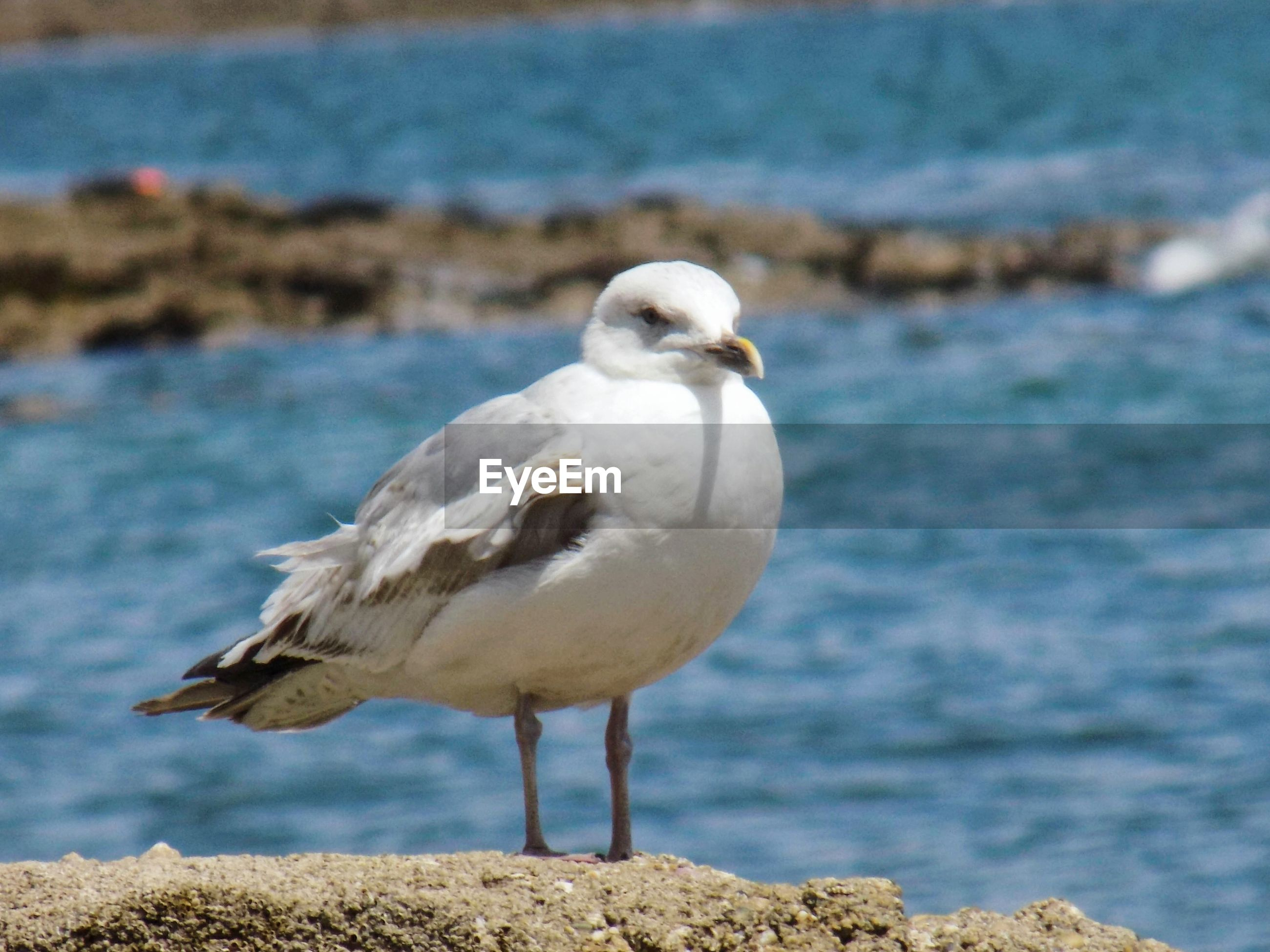 Close-up of seagull on shore by sea