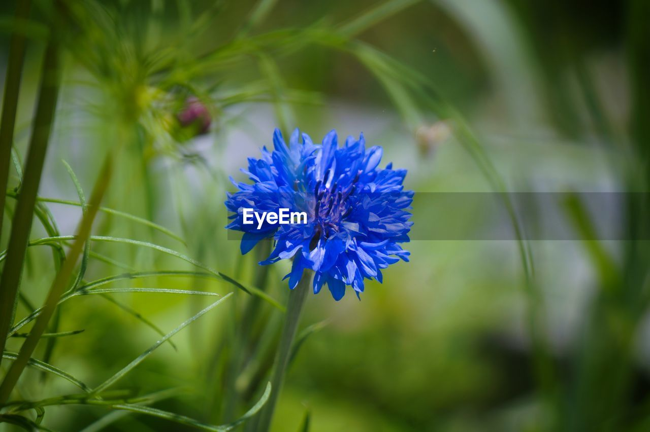 flower, nature, beauty in nature, growth, purple, blue, freshness, petal, plant, fragility, blooming, no people, flower head, outdoors, close-up, day