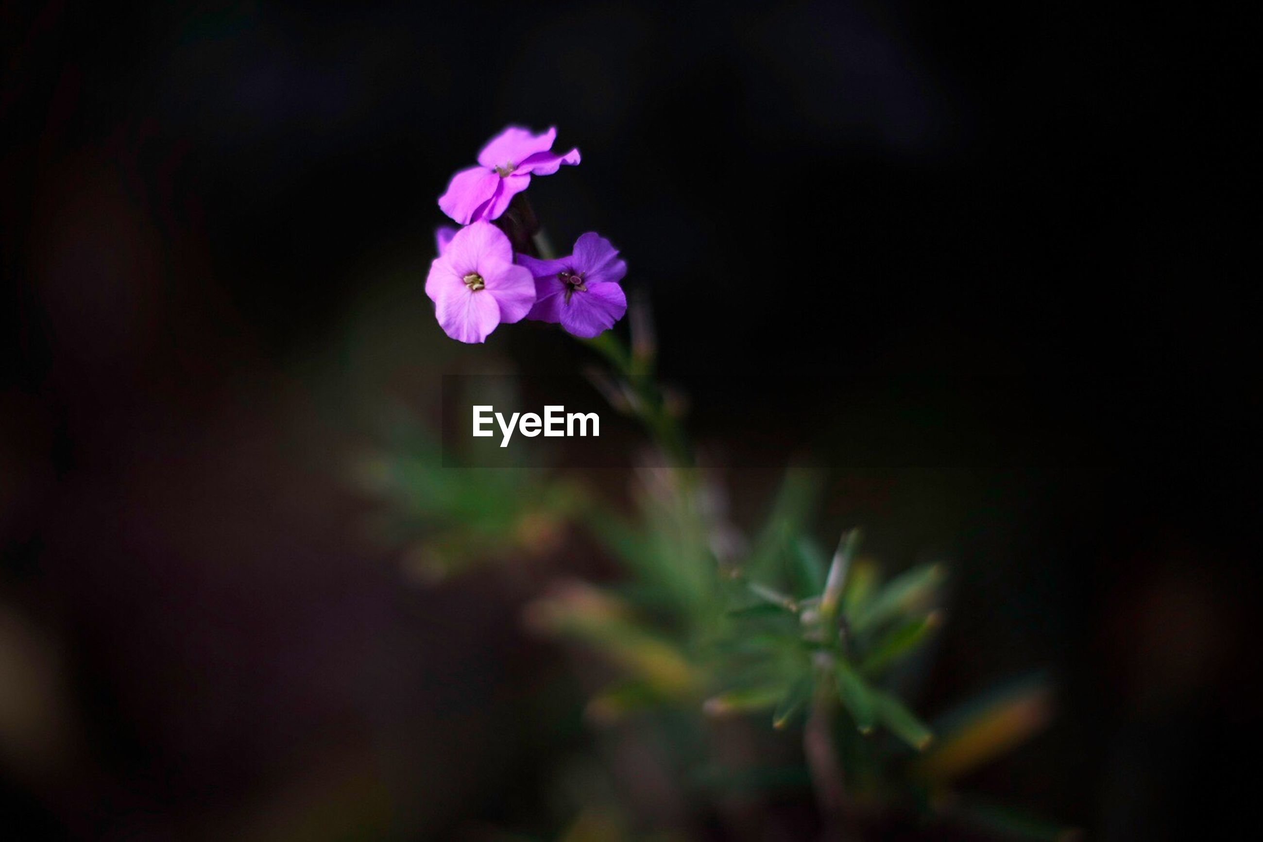 flower, freshness, fragility, growth, petal, beauty in nature, purple, plant, flower head, nature, blooming, close-up, focus on foreground, stem, in bloom, selective focus, blossom, pink color, botany, springtime