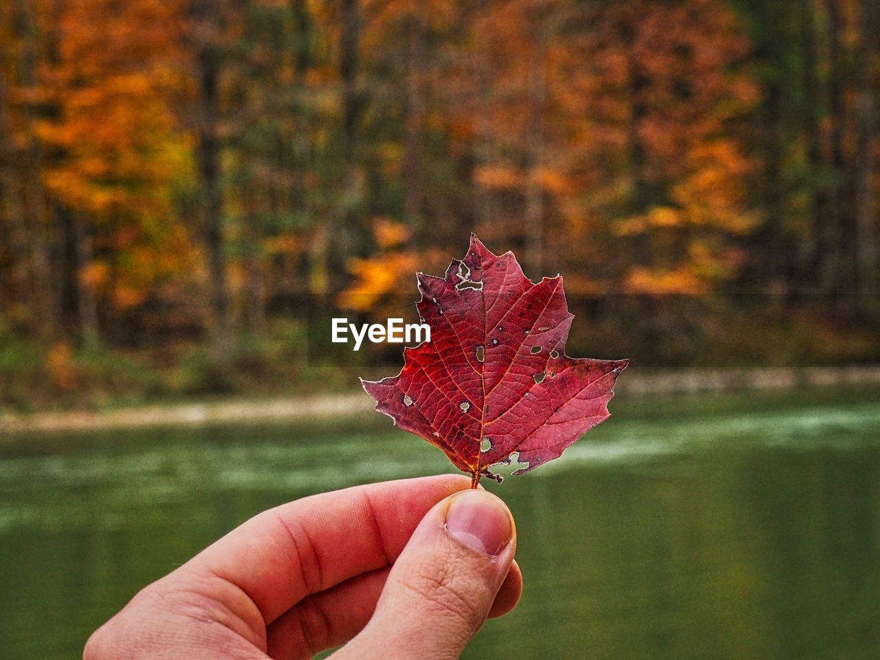 Close-up of hand holding maple leaf at lake