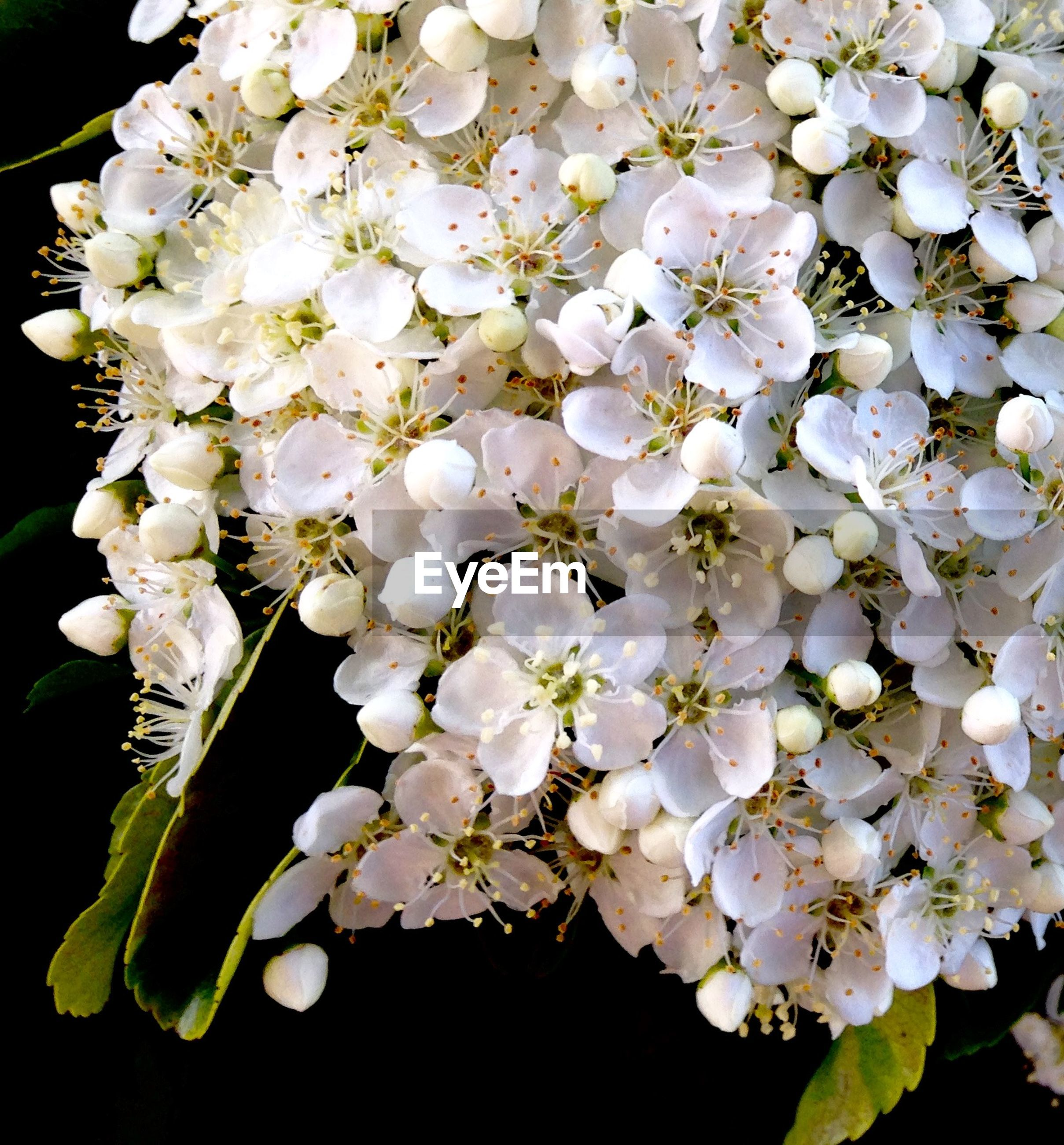 Close-up of pyracantha blooming in garden